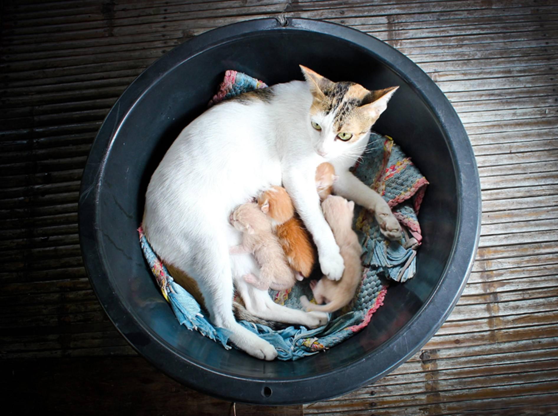 Junge Katzenmütter können manchmal an einer Mastitis erkranken und müssen dann sofort zum Tierarzt! – Shutterstock / Grey Carnation