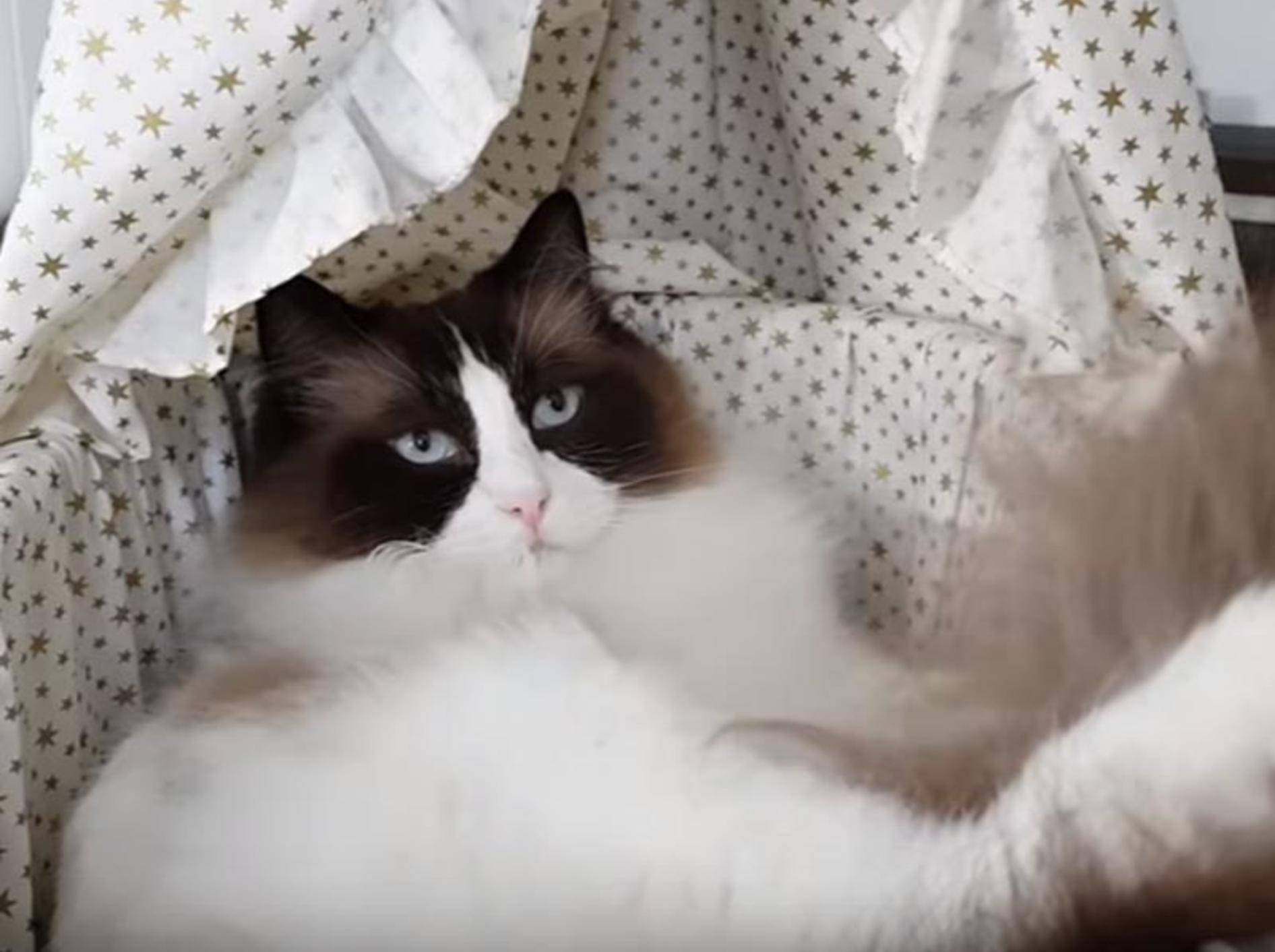 Ragdoll-Kater Timo findet sein neues Puppenbett äußerst bequem – YouTube/Xiedubbel