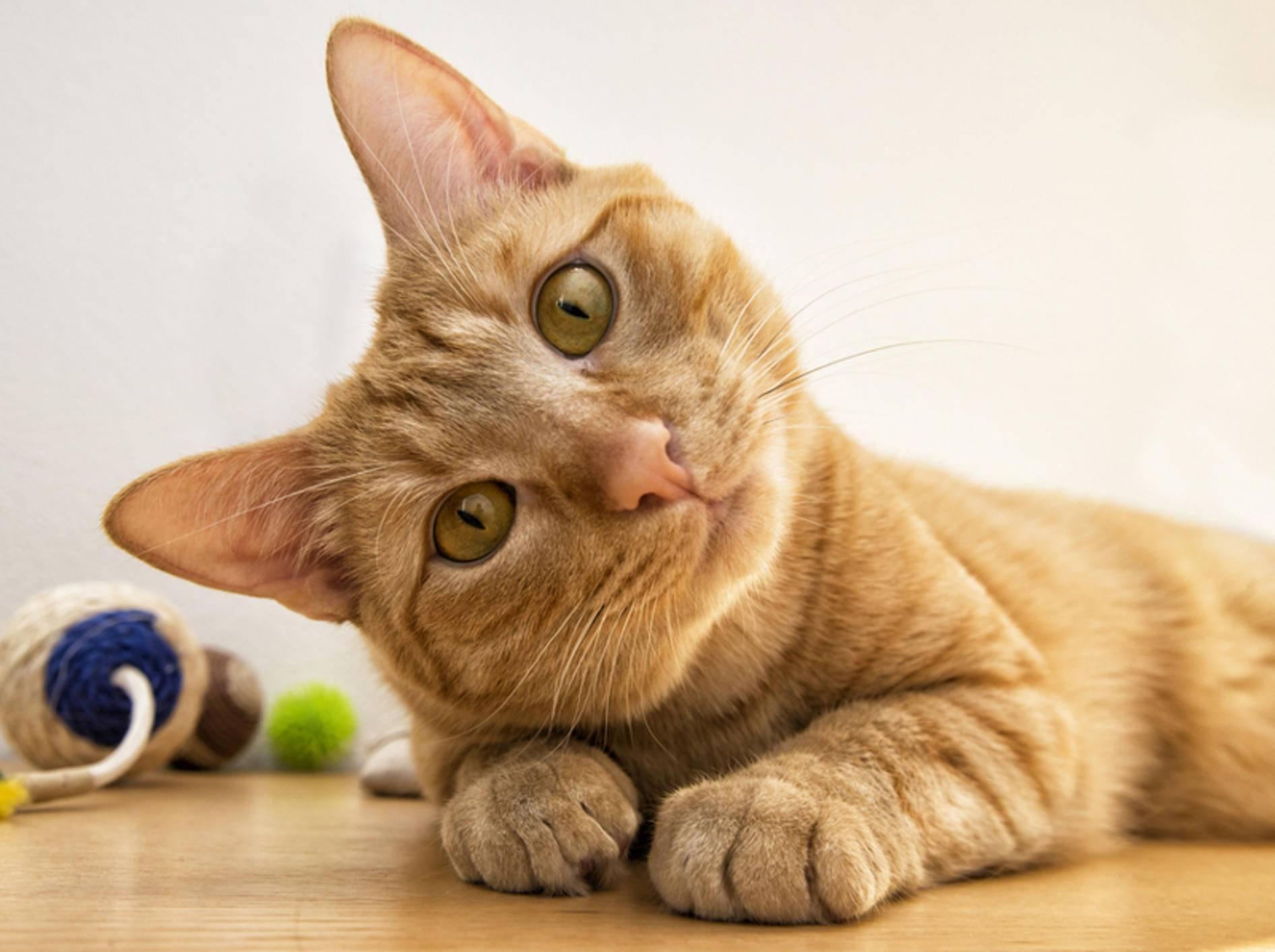 Hält eine Katze den Kopf dauerhaft schief, kann eine Erkrankung dahinterstecken – shutterstock / Nicola Bertolini