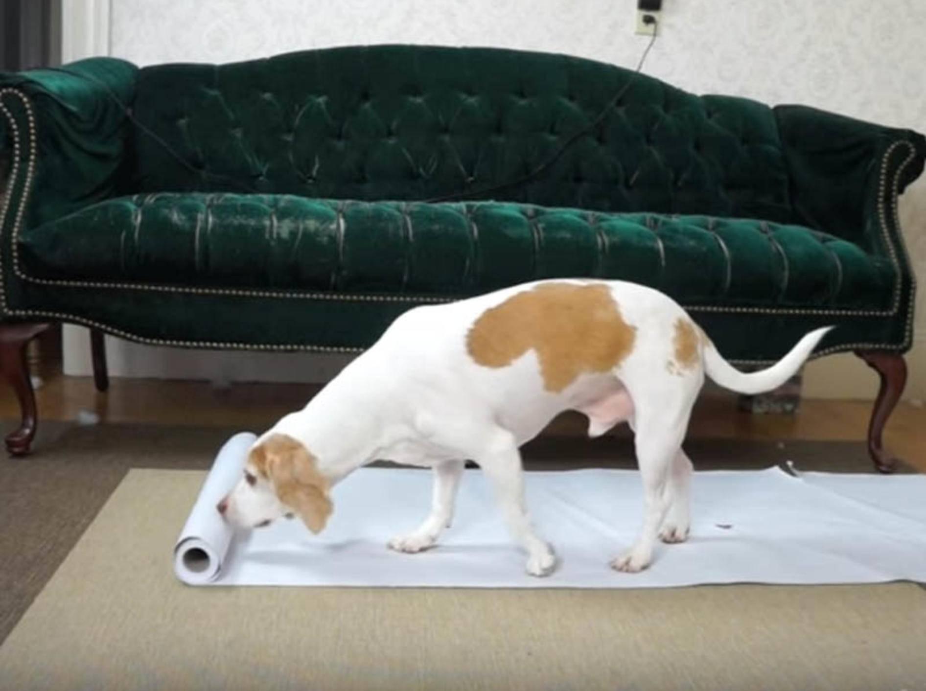 Beagle Maymo & Penny machen Hundekunst_youtube_Maymo