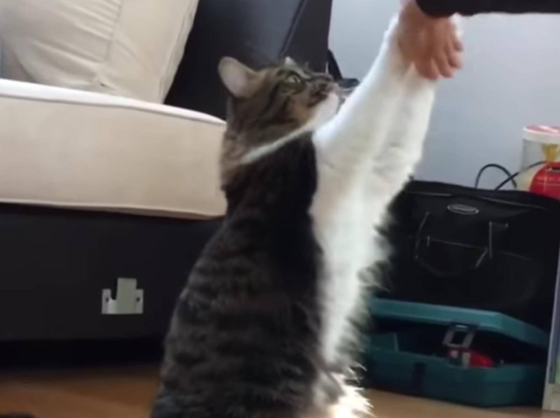 Katze Rosie und die beiden Huskies Lilo und Infinity begeistern mit Tricks - YouTube / Lilothehusky