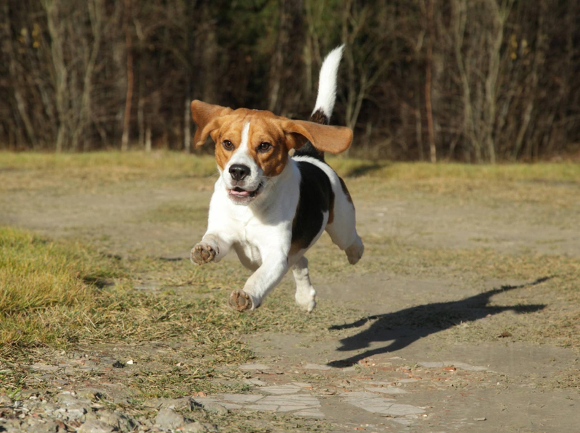 """""""Oh, dahinten hat sich etwas bewegt, nichts wie hinterher!"""" Laufhunde wie der Beagle haben einen ausgeprägten Jagdinstinkt – Shutterstock / Jagodka"""