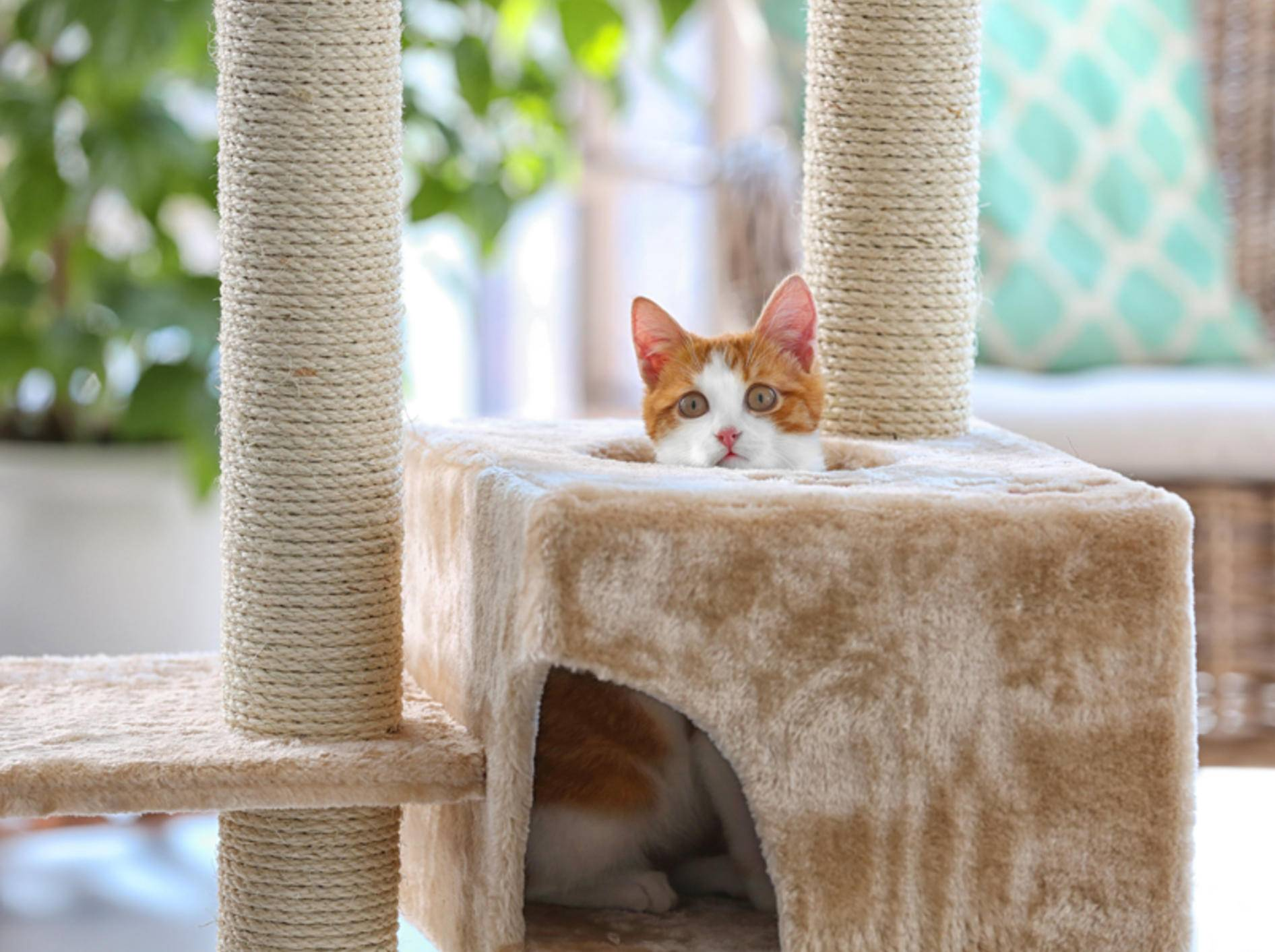Der Kratzbaum: Ein multifunktioneller Zeitvertreib für Katzen – Shutterstock / Africa Studio