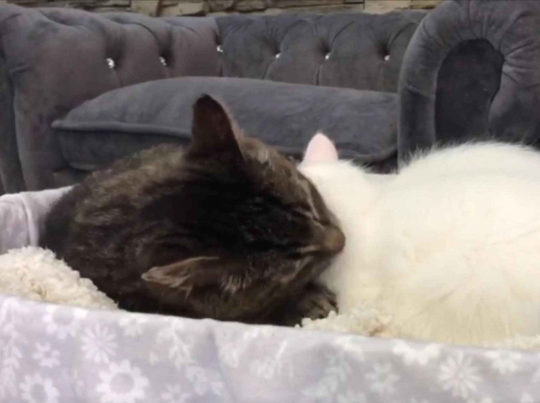 Katzenopa Mason putzt seinen flauschigen Schützling – YouTube / TinyKittens HQ