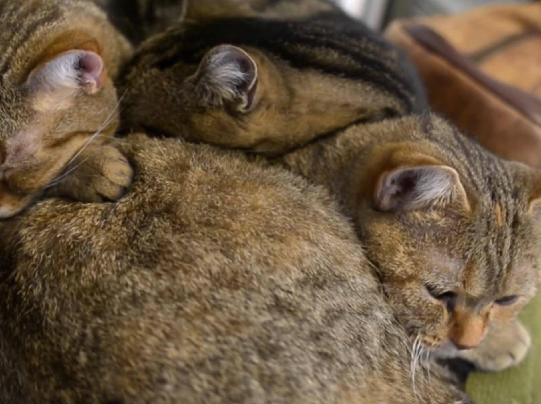 Kuschlige Dreisamkeit: Musahshi, Michelle und May lassen es sich gut gehen – YouTube/10 Cats.+