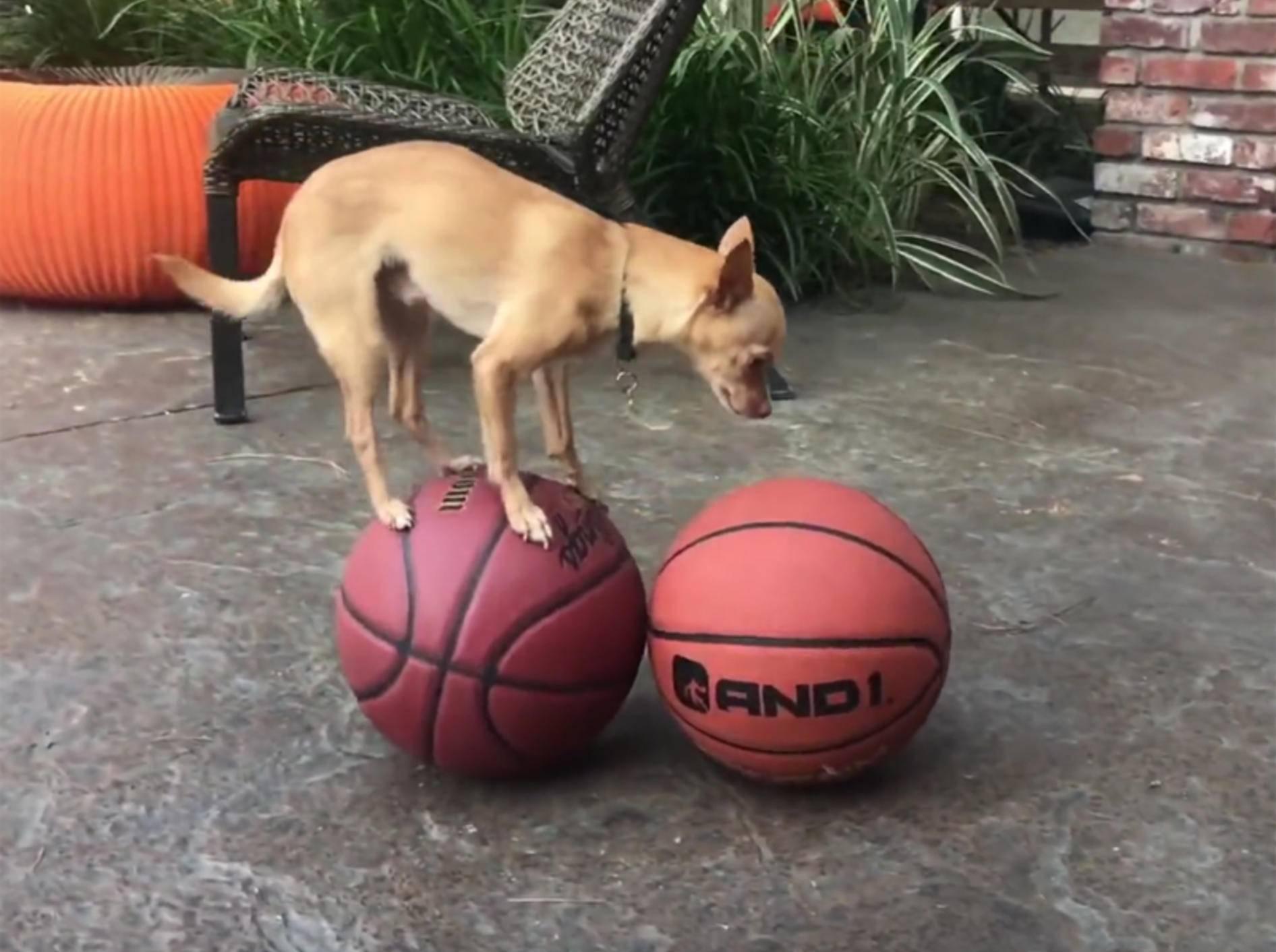 Chihuahua Percy balanciert auf Basketbällen – YouTube / Rumble Viral