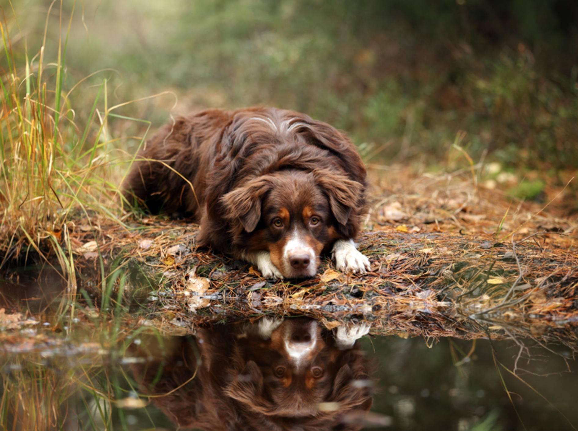 """""""Och, darf ich das Pfützenwasser nicht wenigstens kurz probieren?"""", scheint sich dieser Hund zu denken. Der Gesundheit zuliebe sollten Sie es ihm aber nicht erlauben – Shutterstock / Ivanova N"""