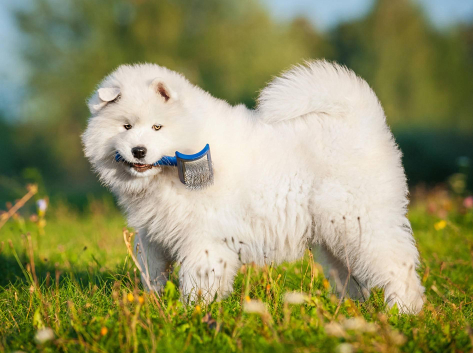 """""""Wer möchte mein schönes langes Fell bürsten?"""", scheint dieser süße Samojede wissen zu wollen – Shutterstock / Grigorita Ko"""