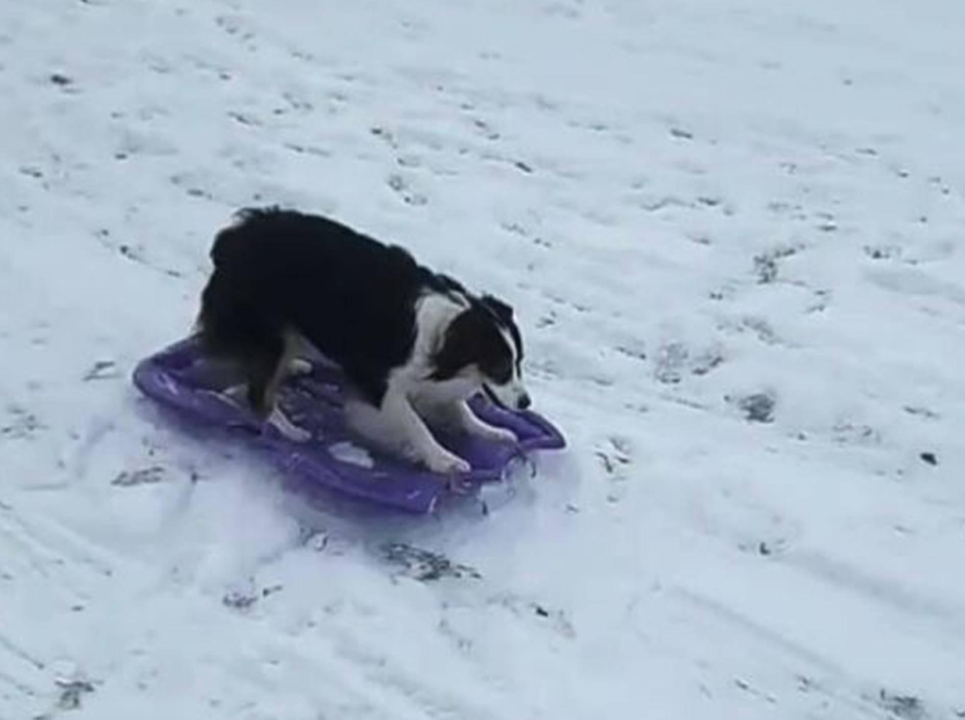 Hund Secret liebt es zu rodeln - Bild: YouTube / USA TODAY