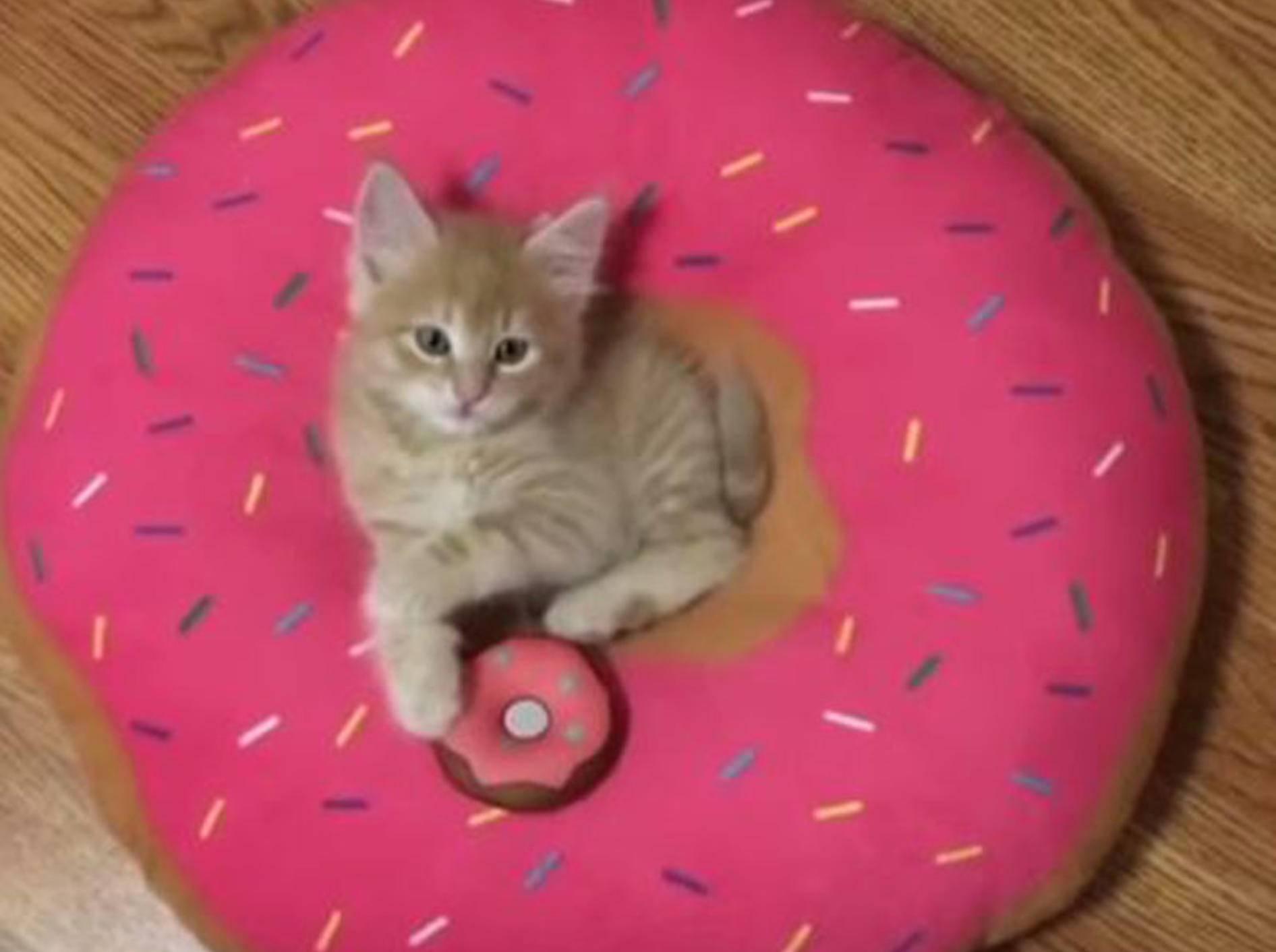 Babykatze Stanley macht es sich in seinem Donut-Kissen gemütlich - Bild: YouTube / Love Meow