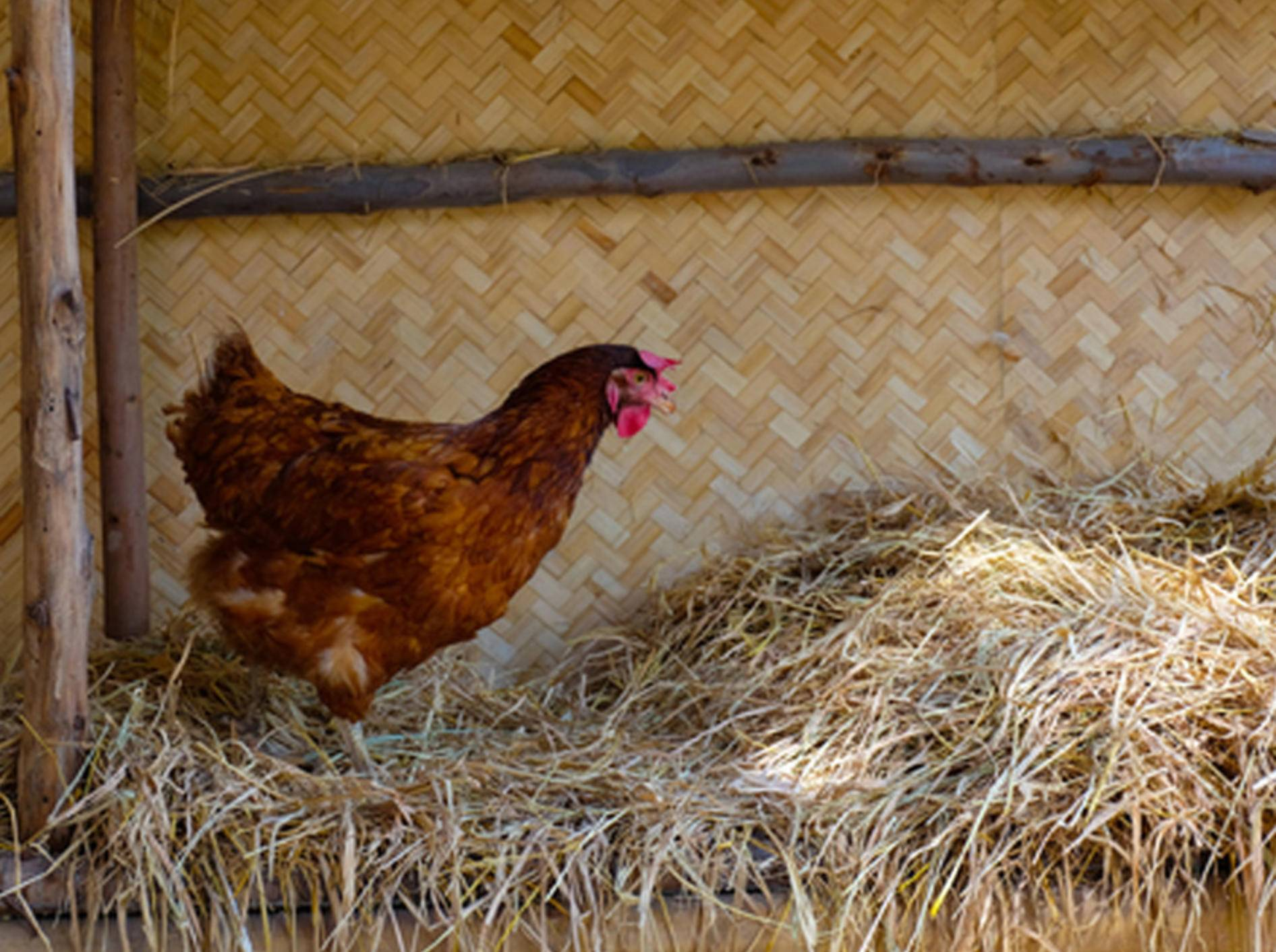 Wer hätte das gedacht? Hühner sind klüger als ihr Ruf – Bild: Shutterstock / Naurora