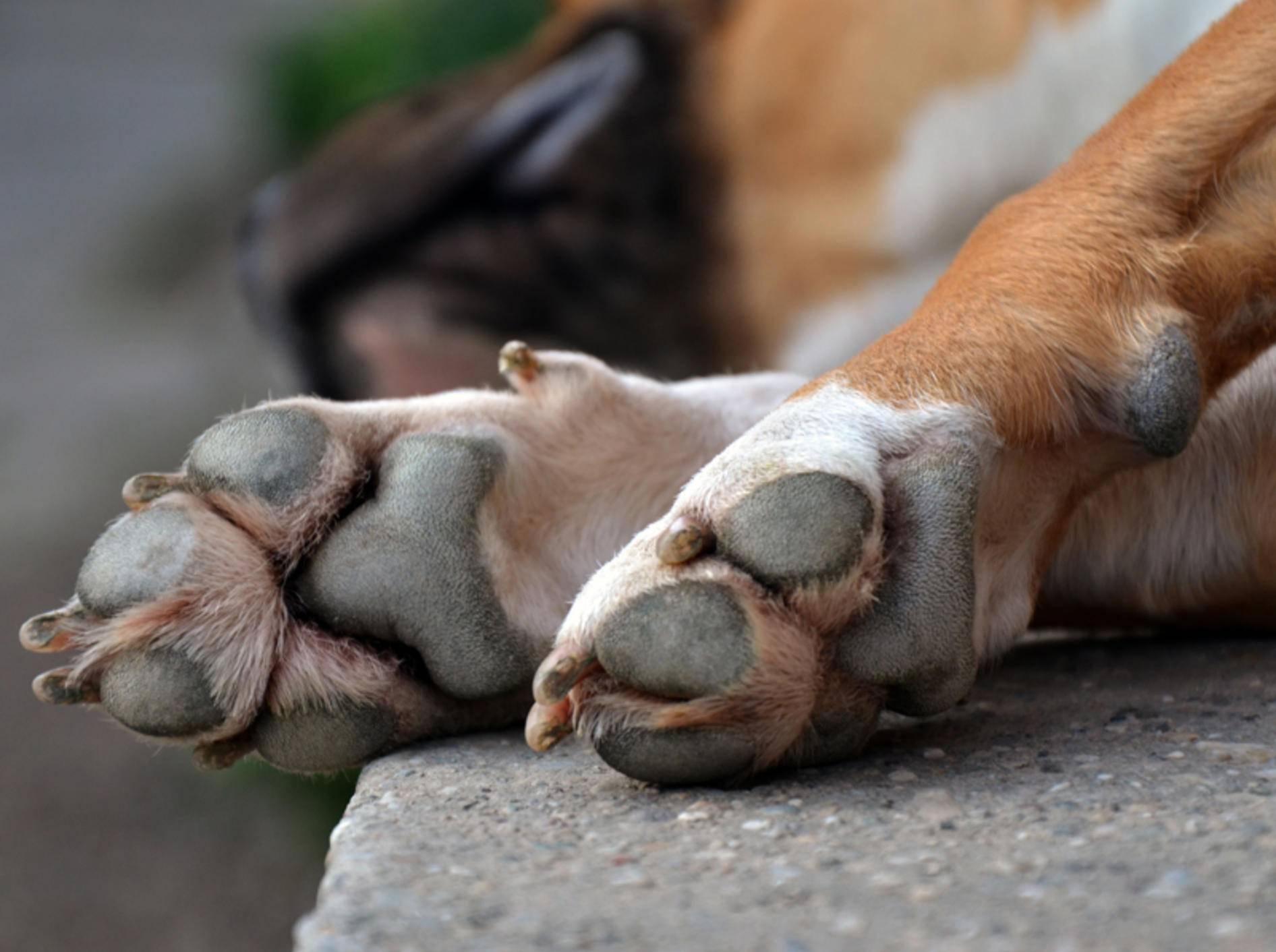 Wenn Ihr Hund sich ständig die Pfote leckt, kann das unterschiedliche Gründe haben – Bild: Shutterstock / Djordje Novakov