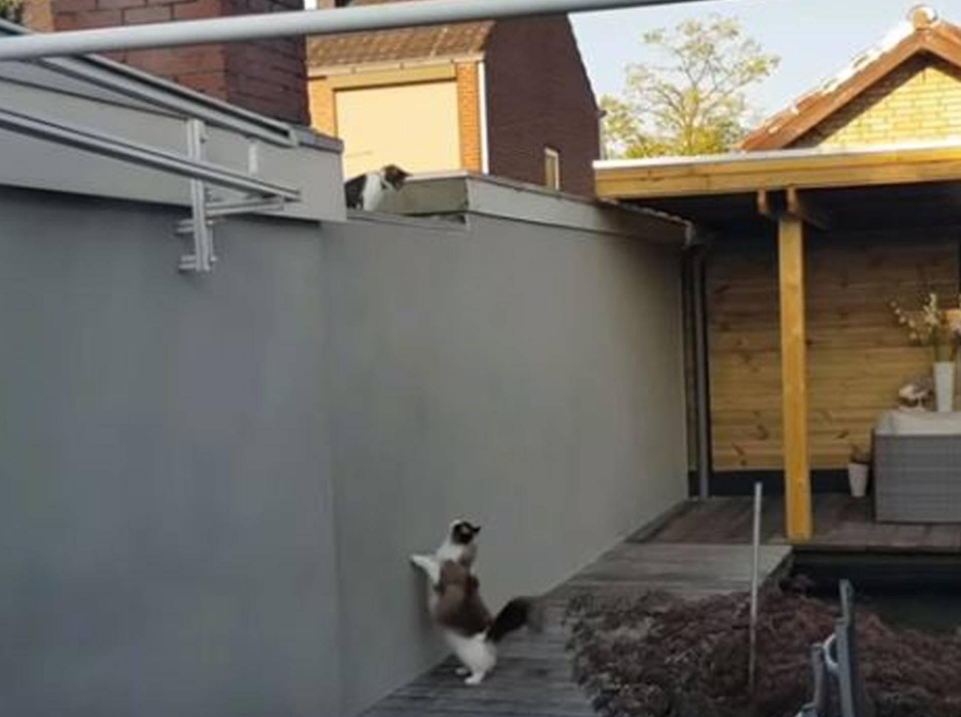 Ragdoll-Kater Timo hat eine Auge auf die Nachbarskatze geworfen - Bild: YouTube / Xiedubbel