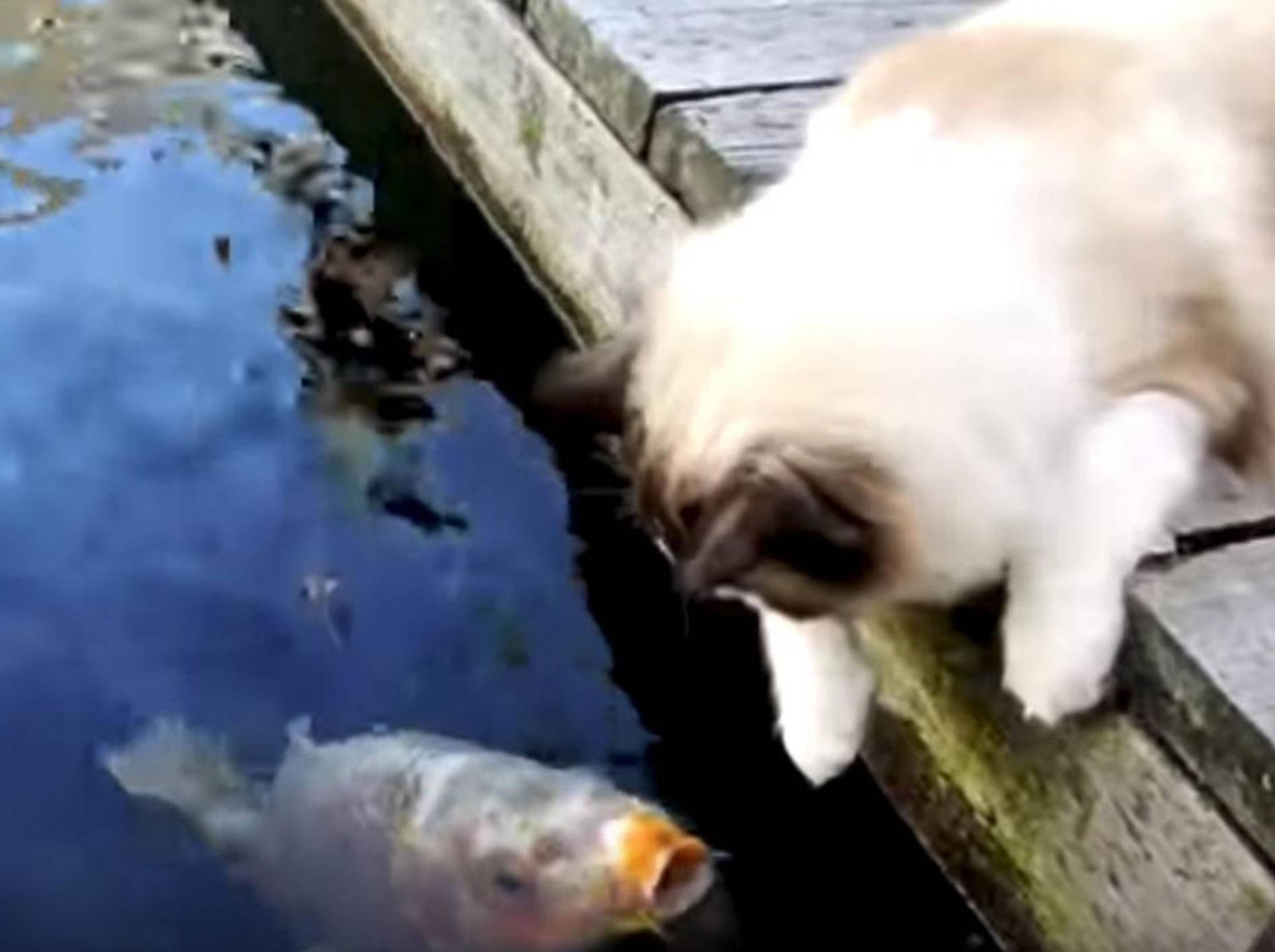 Ragdoll-Kater Timo spielt mit seinen Koi-Freunden - Bild: YouTube / ViralHog