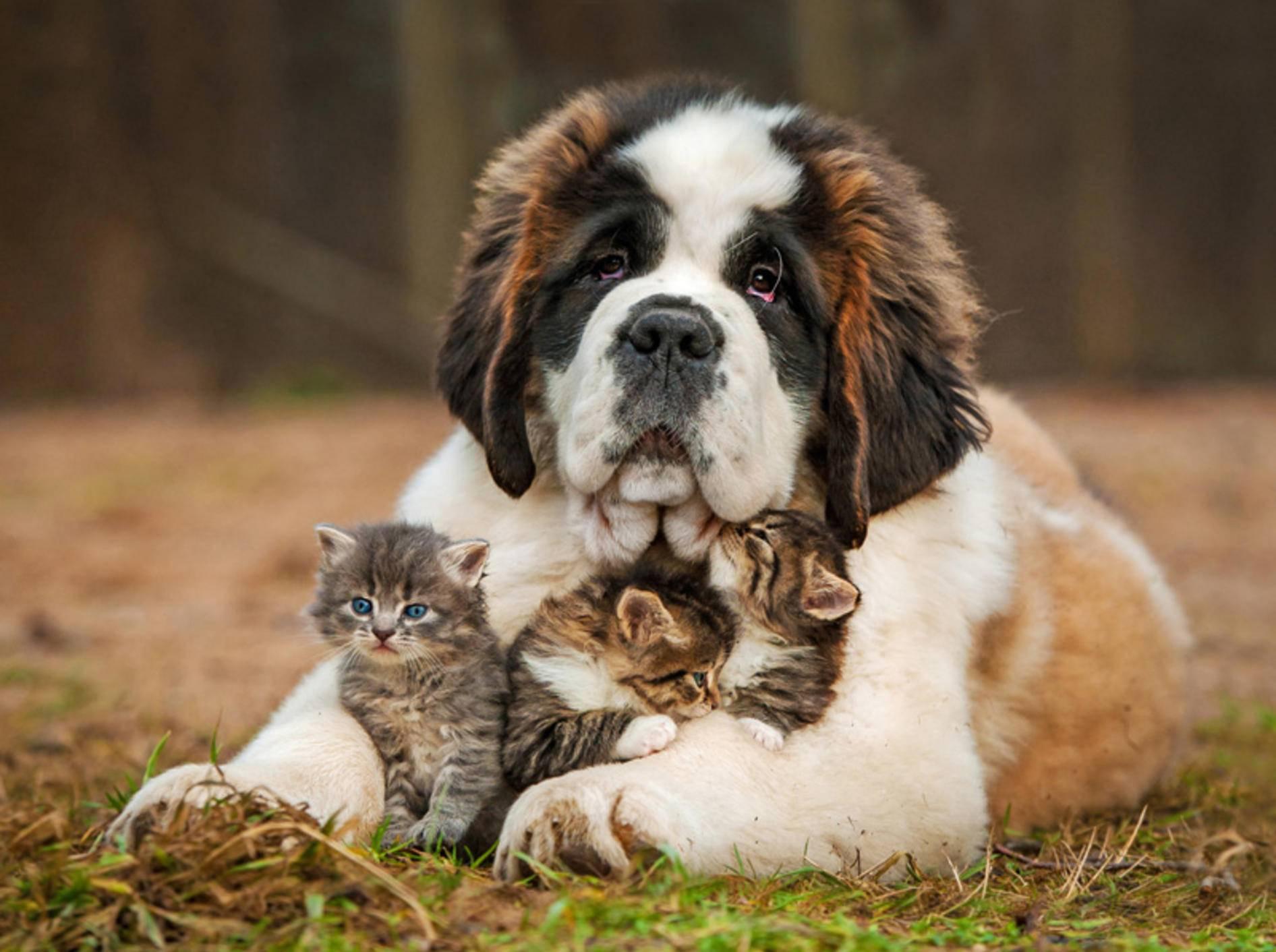 Toller Hund: Der Hütetrieb dieses Berhardiners kommt den Katzenbabys bestimmt zugute – Bild: Shutterstock / Grigorita Ko