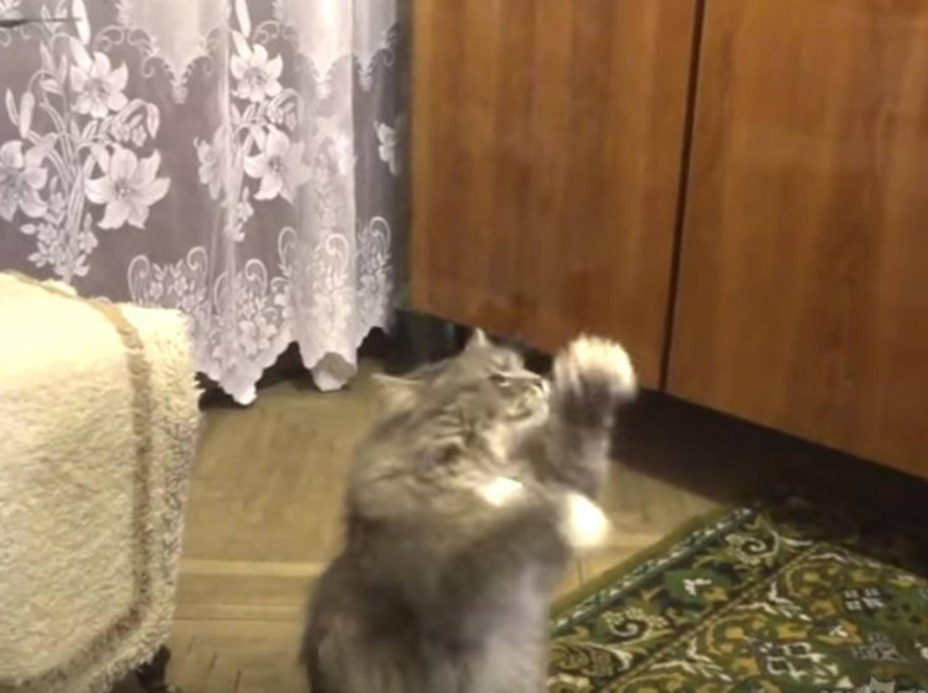 So süß! Diese Katze tanz zu dem Gesang ihres Frauchens - Bild: YouTube / ignoramusky