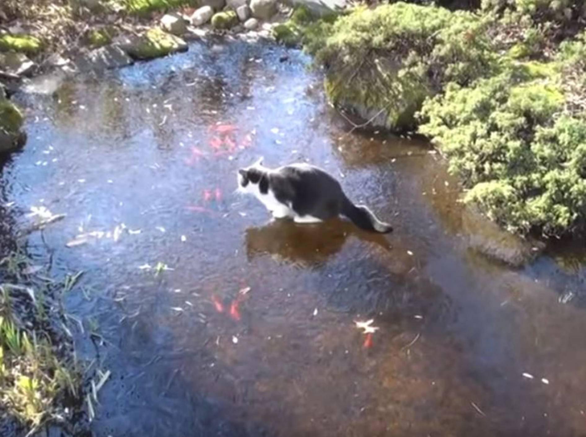 Diese Katze hat es auf einen Goldfisch abgesehen. Dumm nur, dass der Teich gefroren ist - Bild: YouTube /RM Videos