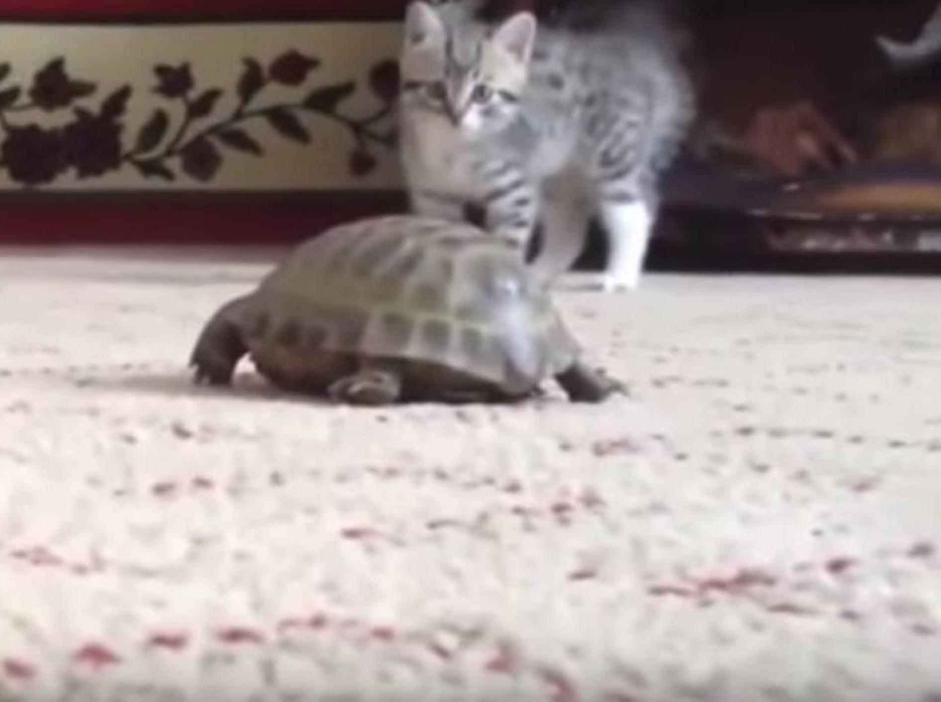Dieses kleine Kätzchen trifft vermutlich das erste Mal auf eine Schildkröte - Bild: YouTube / Awwtastic