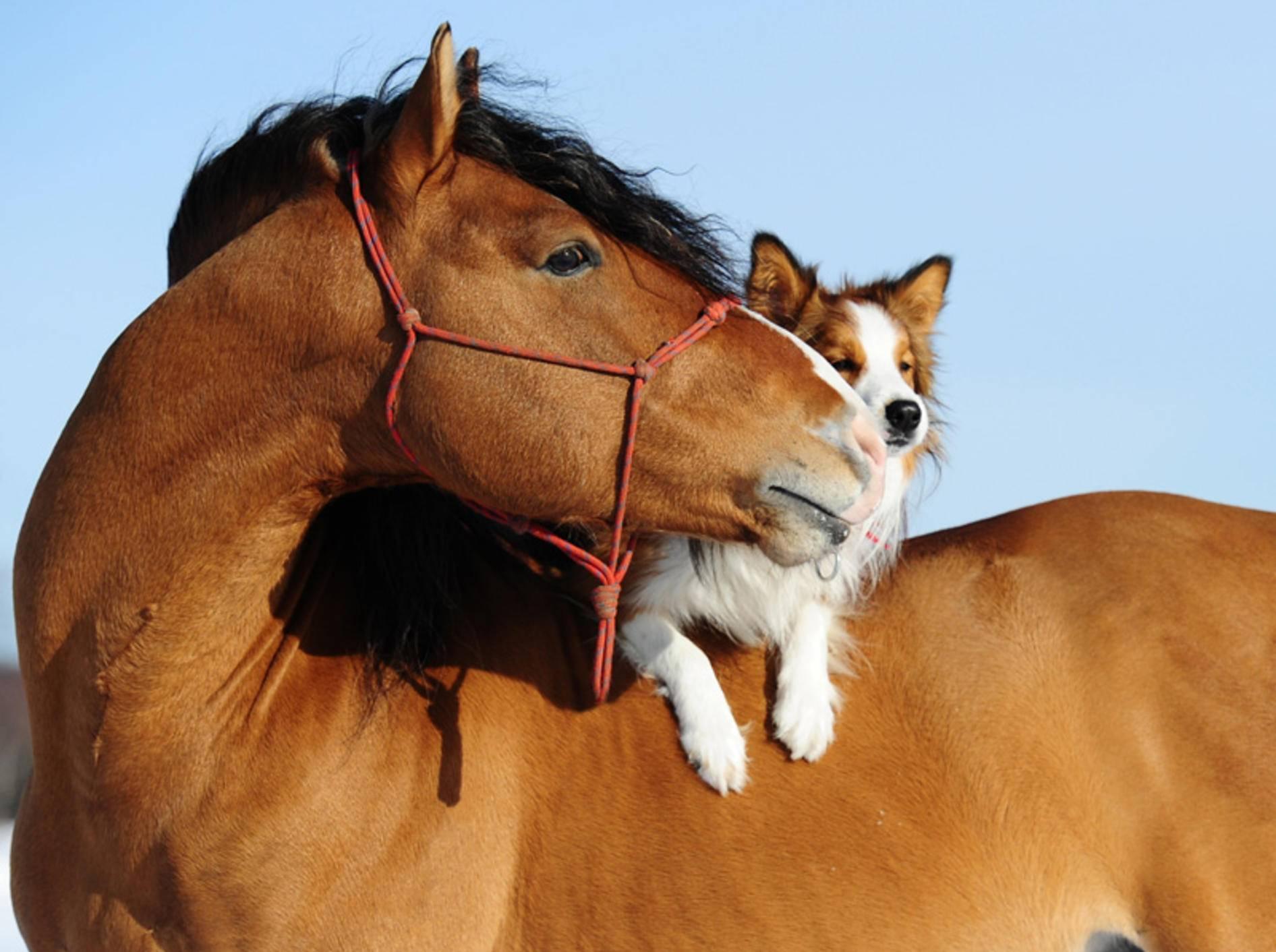 Freunde machen glücklich – finden auch dieses Pferd und sein süßer Hunde-Freund – Bild: Shutterstock / Makarova Viktoria