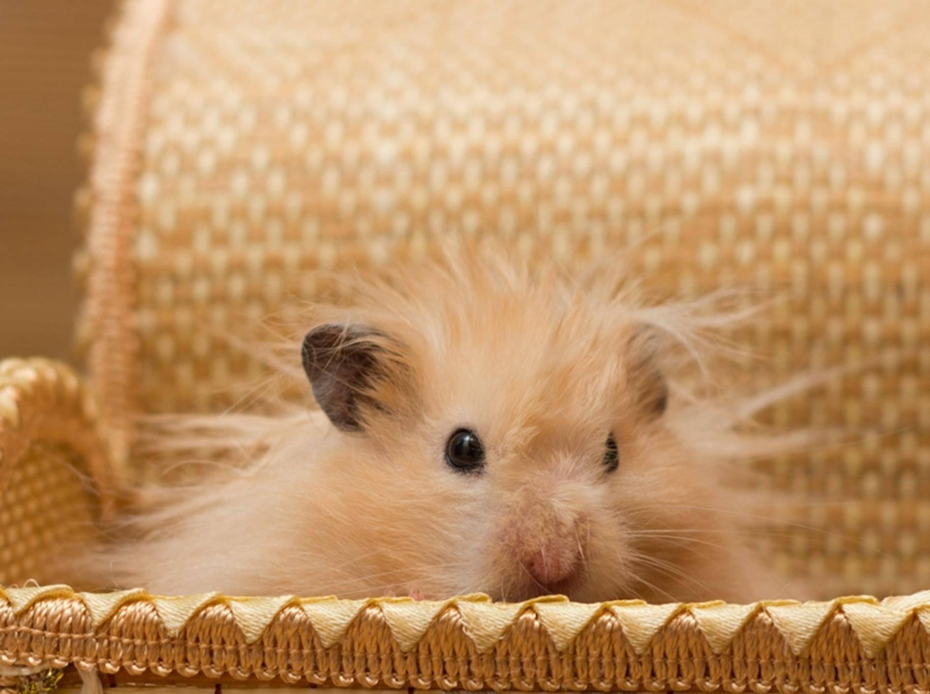 Da muss wohl jemand mal wieder zum Hamster-Friseur — Bild: Shutterstock / Tikhonova Yana