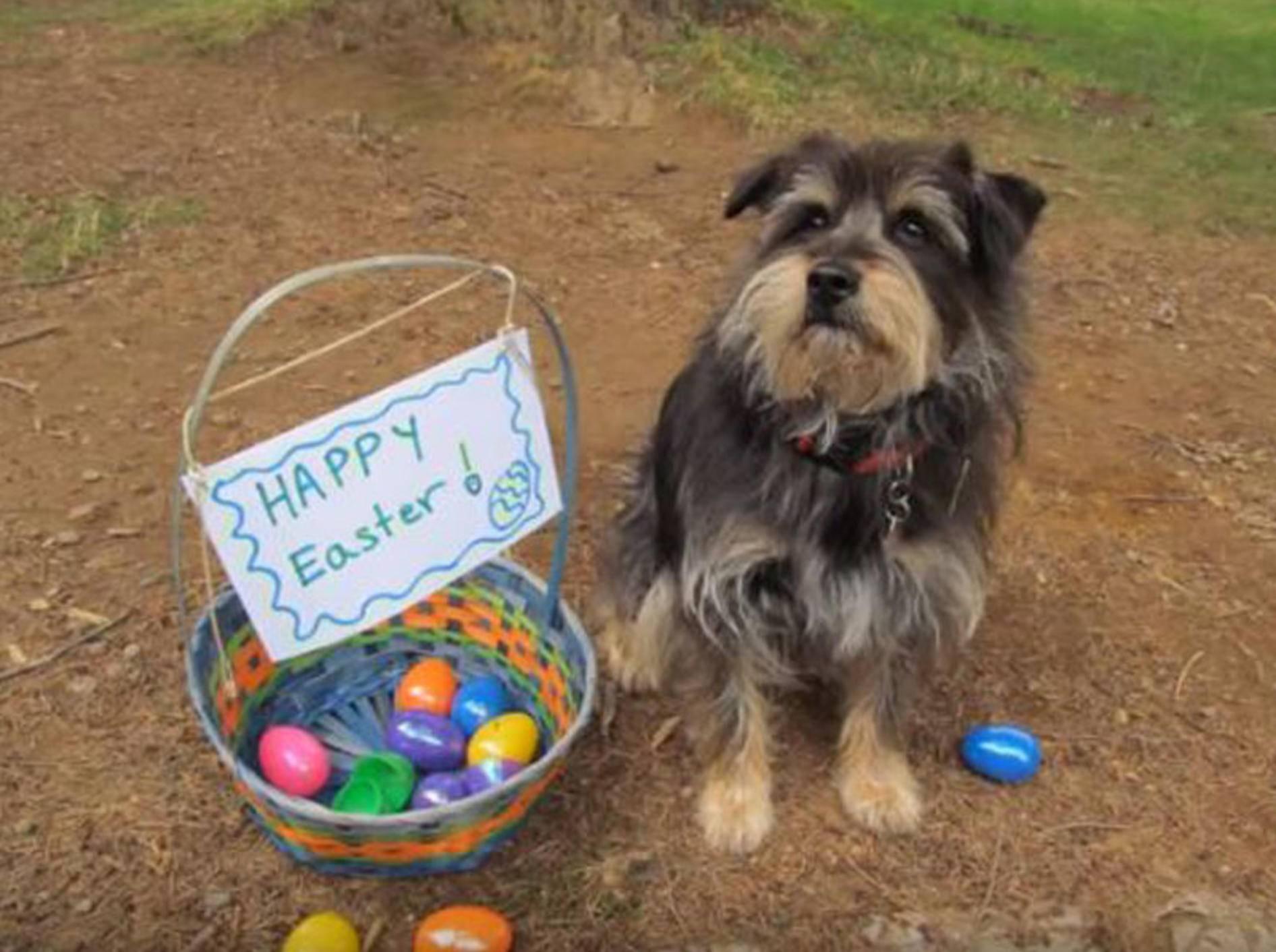 Hund Koby begibt sich an Ostern auf Eiersuche - Bild: YouTube / kimmobley333