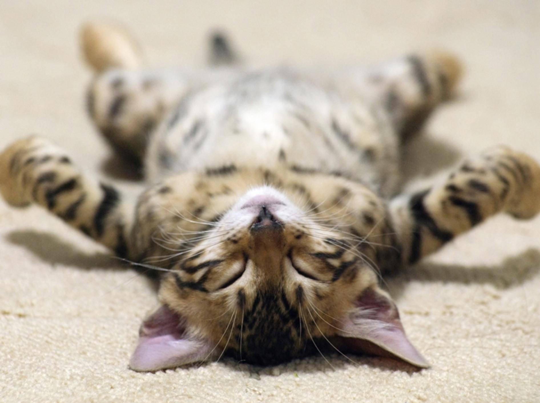 Katzenbaby Nr. 1 beweist: Auf dem Rücken schlafen ist sooo gemütlich - Bild: Shutterstock / Pakhnyushchy