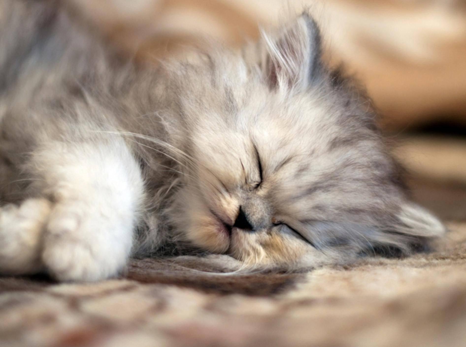 Babykatze Nummer 1: Ein winziges Perser-Glückskätzchen mit süßen Träumen — Bild: shutterstock / Trybex