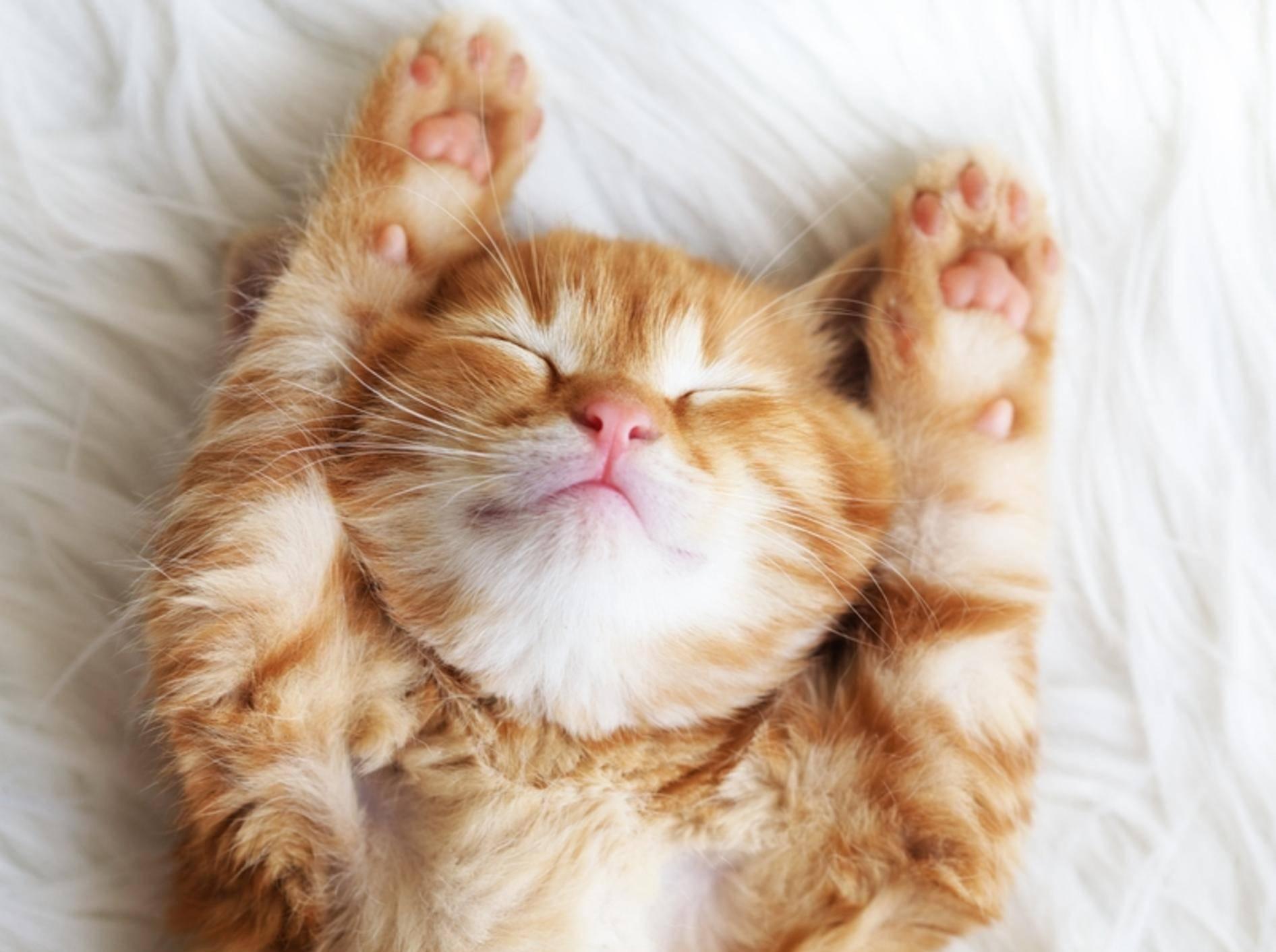 Ganz klein und ganz müde: Dieser rote Katzenwinzling braucht jetzt ein kleines Schläfchen – Bild: shutterstock / Alena Ozerova