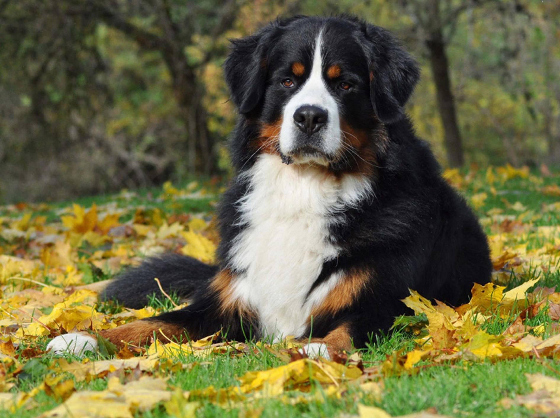 Der Berner Sennenhund gilt als Tier mit hoher Reizschwelle - Bild: Shutterstock / Everita Pane