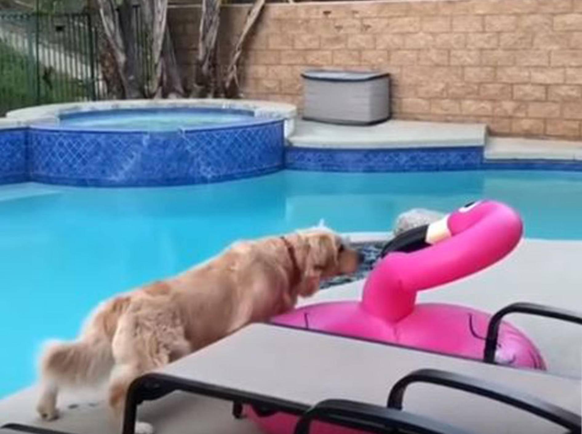 Golden Retriever pirscht sich an Plastik-Flamingo heran - Bild: YouTube / RM Videos