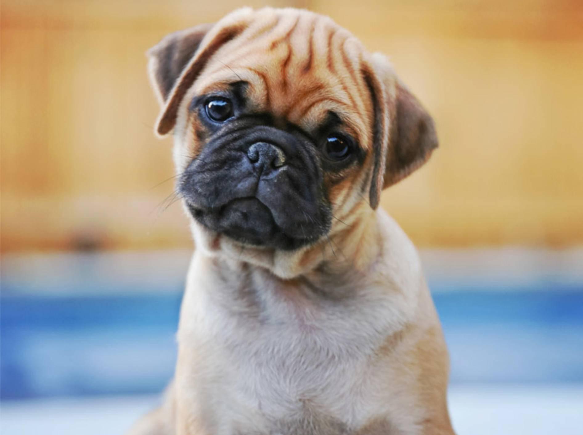 Ist der Dackelblick bei Hund das Ergebnis der Evolution? - Bild: Shutterstock / Annette Shaff