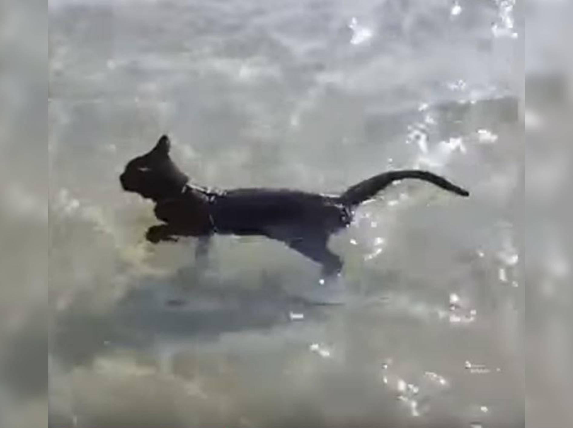 Katze Nathan liebt das Schwimmen - Bild-Copyright: Karachi Sohrab Goth Cow Mandi/YouTube