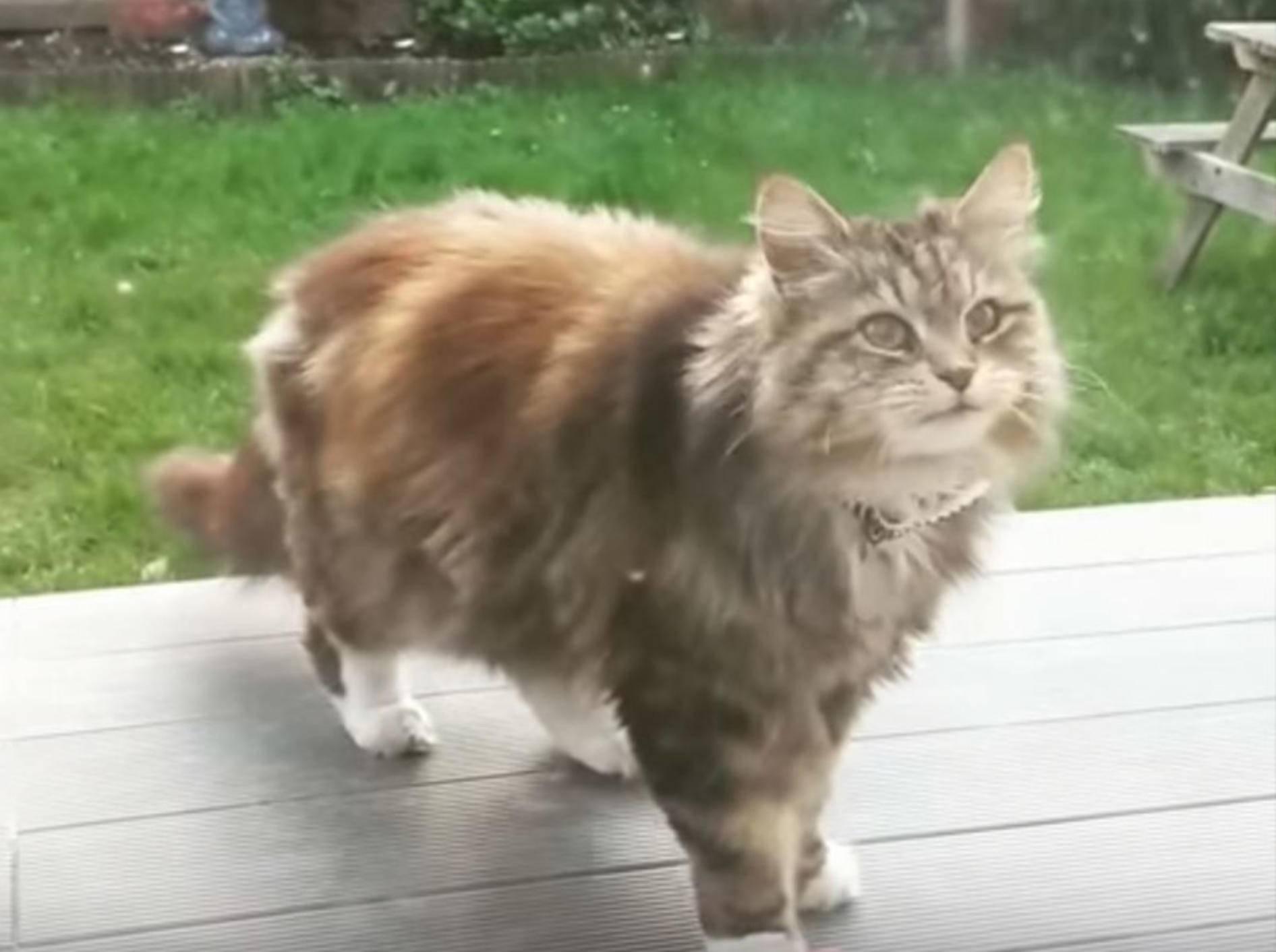 Katze Willow versorgt ihre Nachbarin täglich mit Blüten - Bild: YouTube / Love Meow