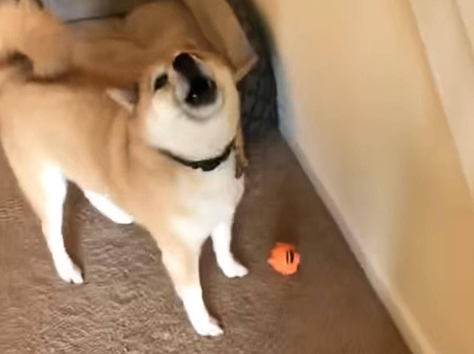 Shiba begeistert mit lustigem Geräusch - Bild: YouTube/The Adventures of Mandy and Major