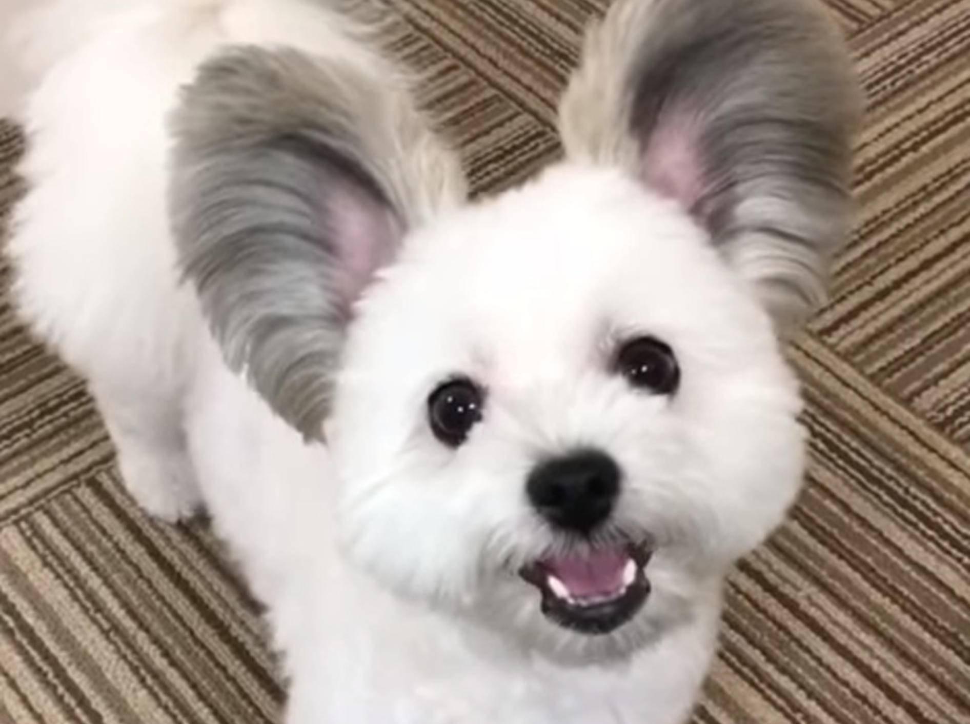 Ein Hund namens Goma begeistert mit seinen Ohren derzeit das Netz - Bild: YouTube / Strange incident