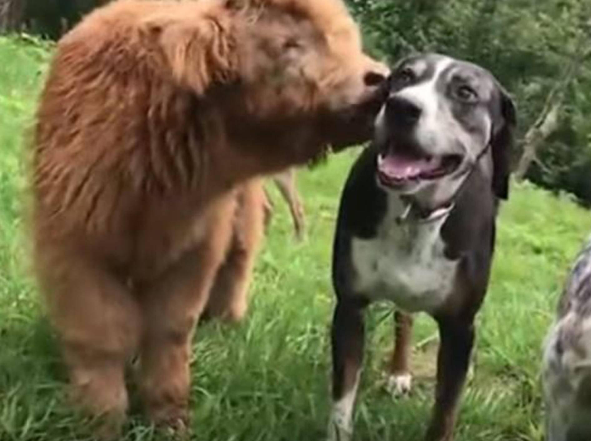 Kälbchen James hält sich für einen Hund - Bild: YouTube / john rylor