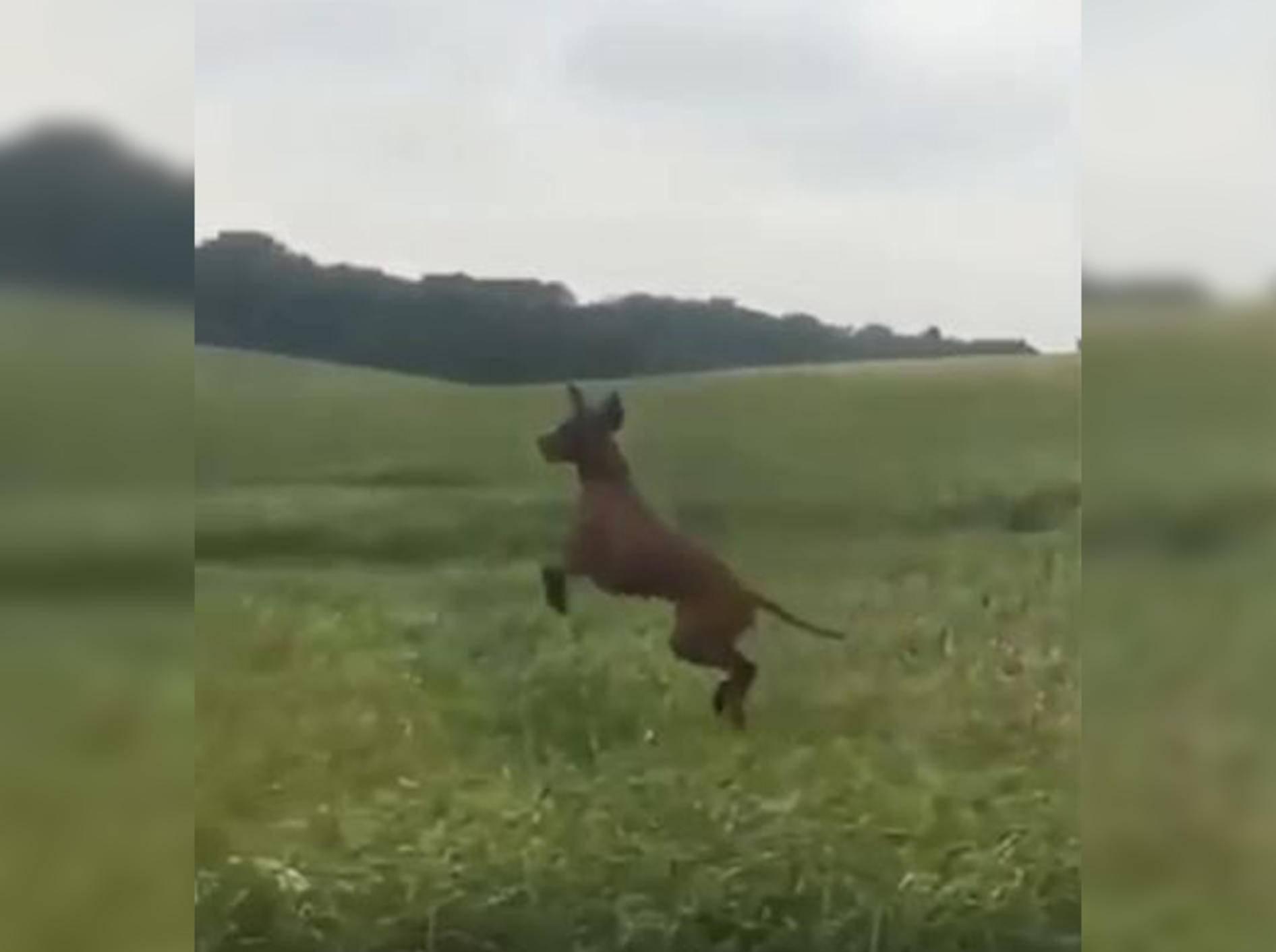 Dieser Hund denkt, er wäre ein Känguru - Bild: YouTube / LadDog