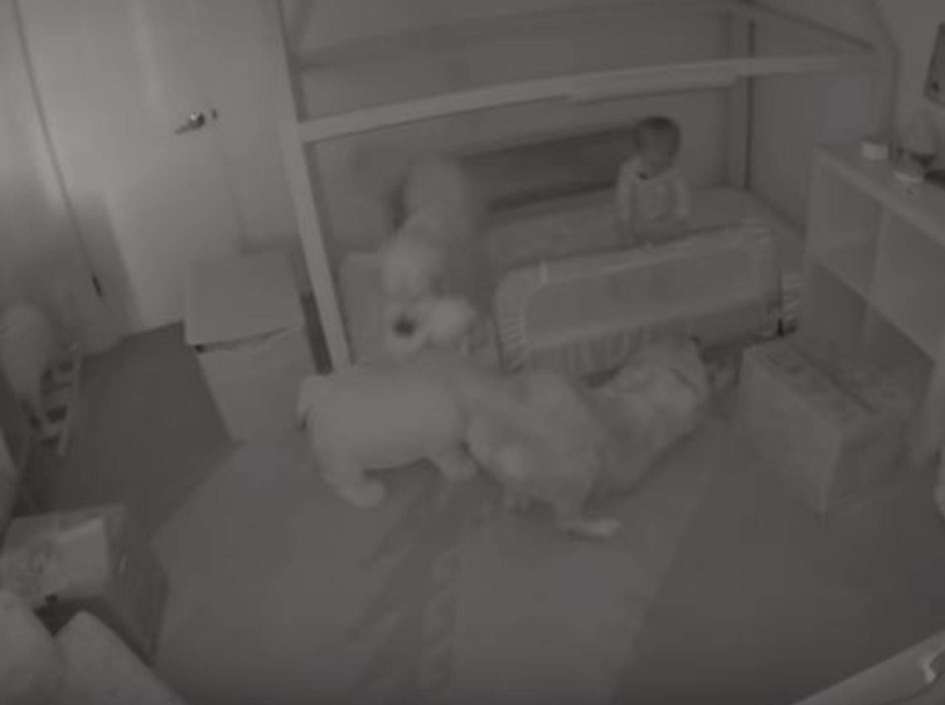 Labradore befreien Kleinkind aus seinem Zimmer - Bild: YouTube / Daily Mail