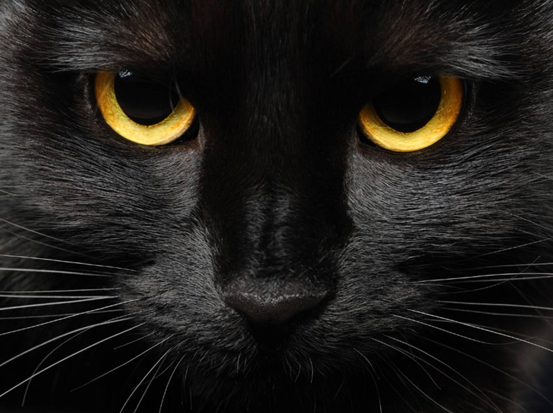 Der schlechte Ruf der schwarzen Katze rührt aus dem Mittelalter - Bild: Shutterstock / Pipalana