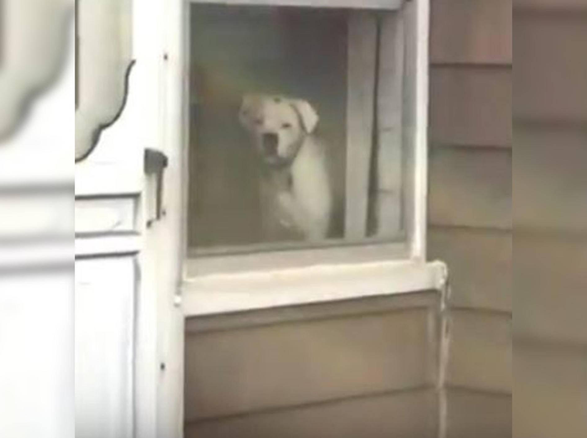 Hündin Maddie beorbachtet ihr Herrchen beim Verlassen des Hauses - Bild: YouTube / ELITE Virals