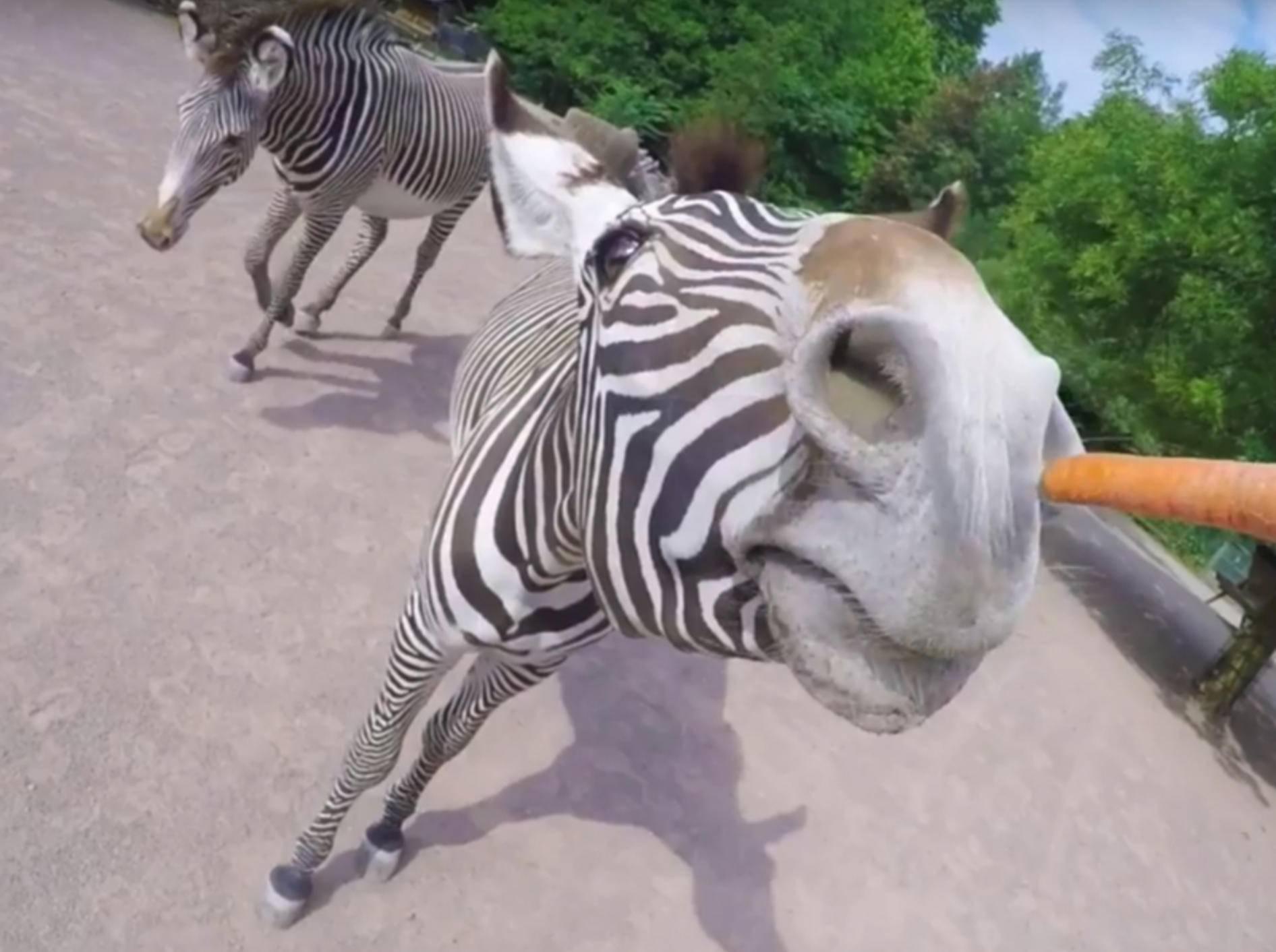 Yammy! So nah hat man ein Zebra noch nie beim Essen gesehen - Bild: YouTube/Kölner Zoo
