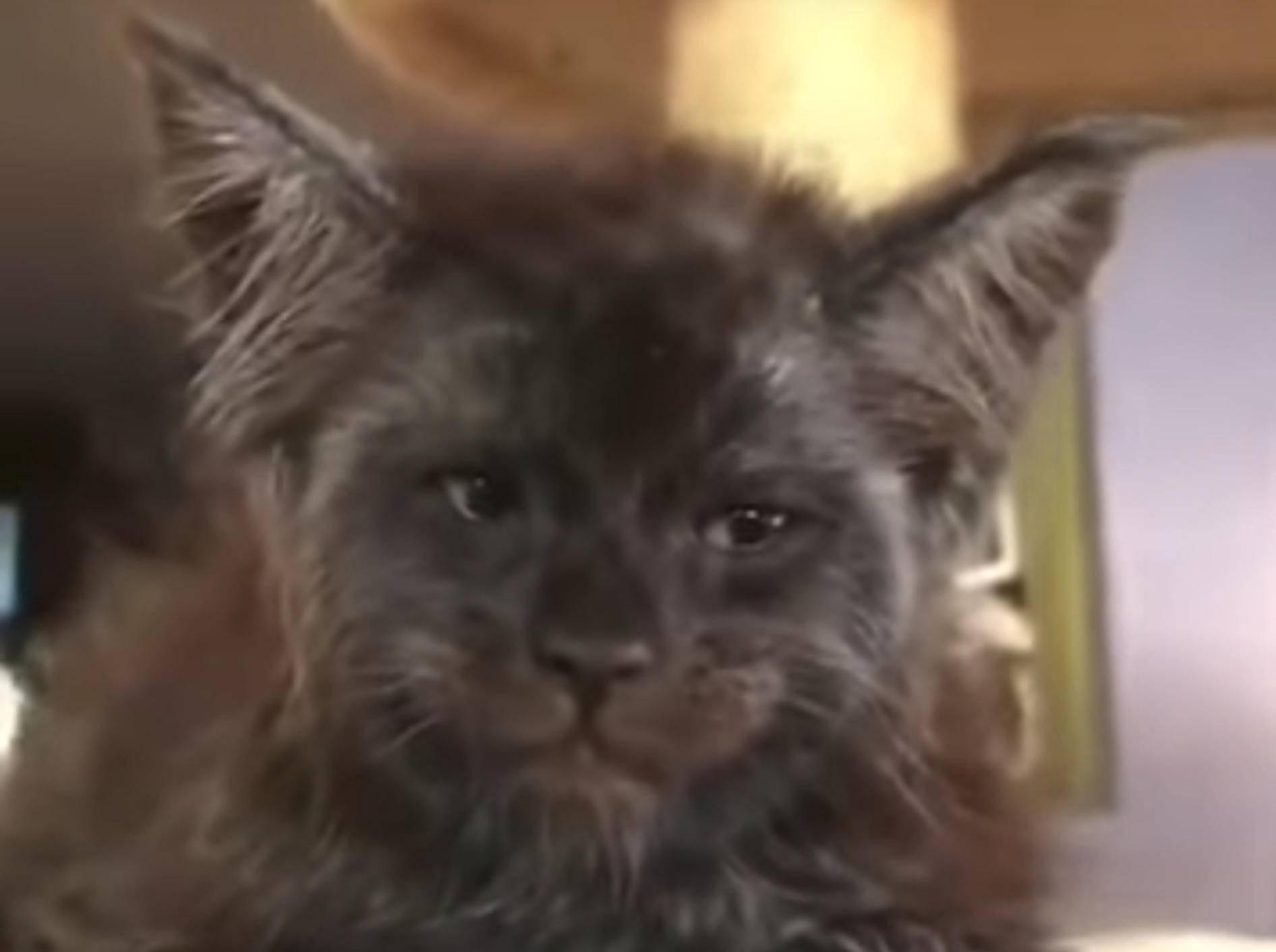 Main-Coon-Kätzchen Valkyrie hat irgendwie menschliche Züge - Bild: YouTube / Life Tricks