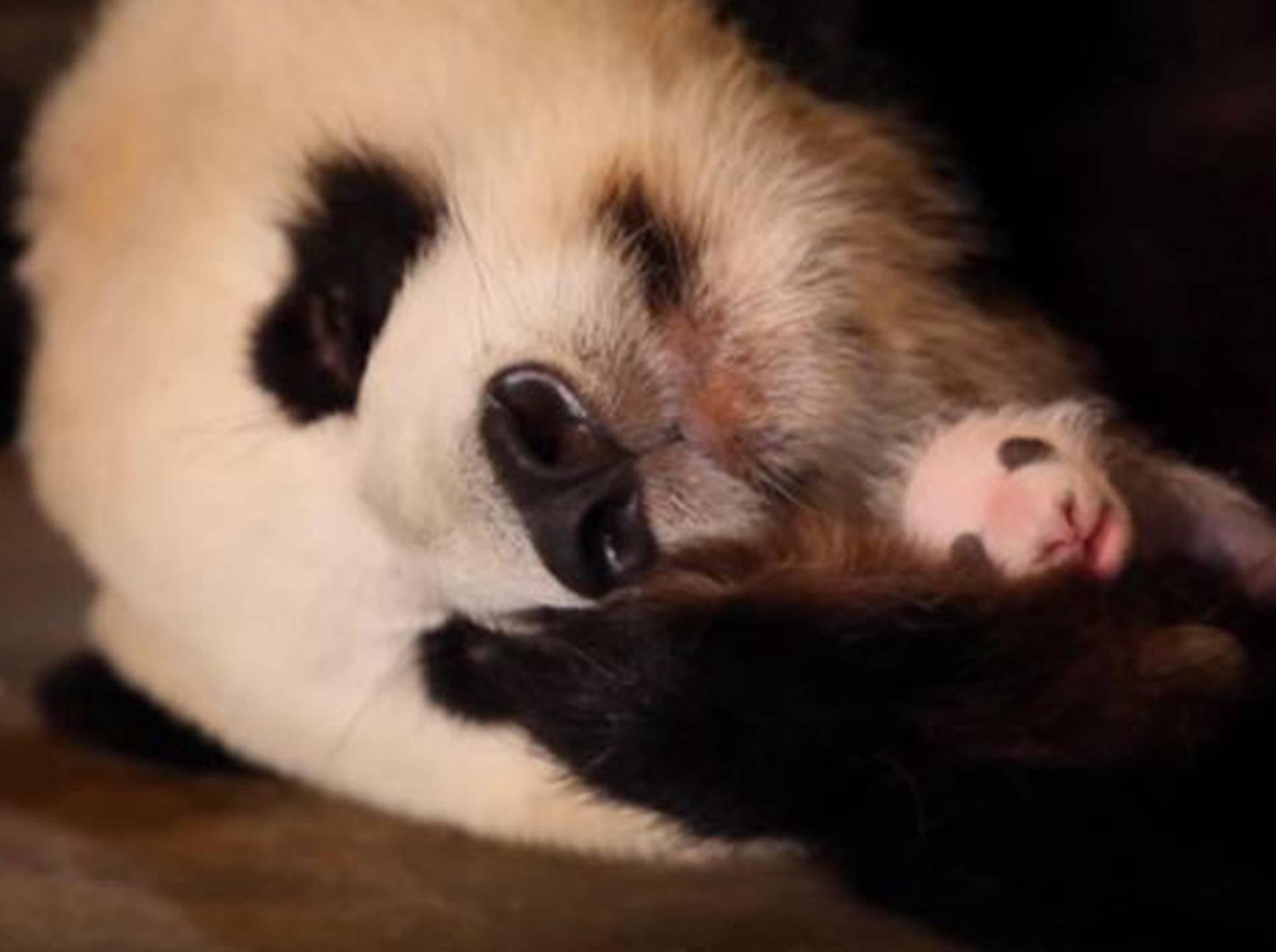 Panda-Dame Lee Lee weiß nicht, dass sie Zwillinge hat - Bild: YouTube / BBC Earth