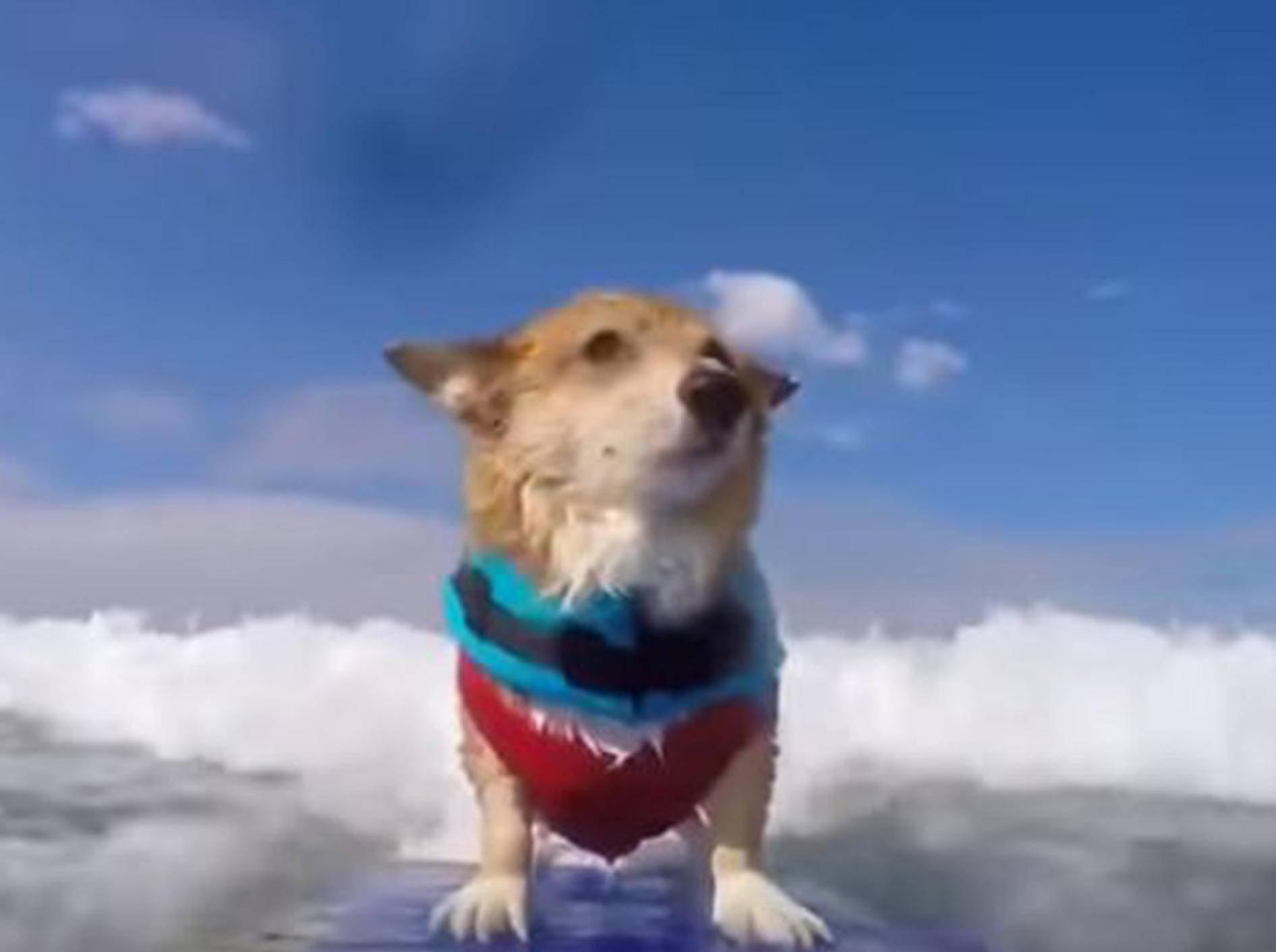 Auf dem Surfbrett macht Corgi Jojo so schnell keiner etwas vor - Bild: YouTube / Super Corgi Jojo