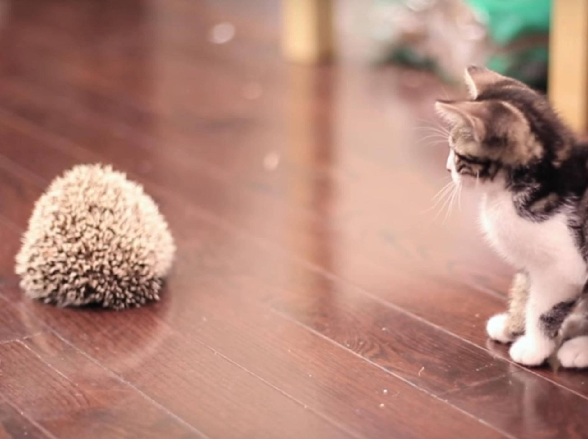 Wie niedlich! Diese Babykatze lernt einen Igel kennen - YouTube/TheSorryGirls