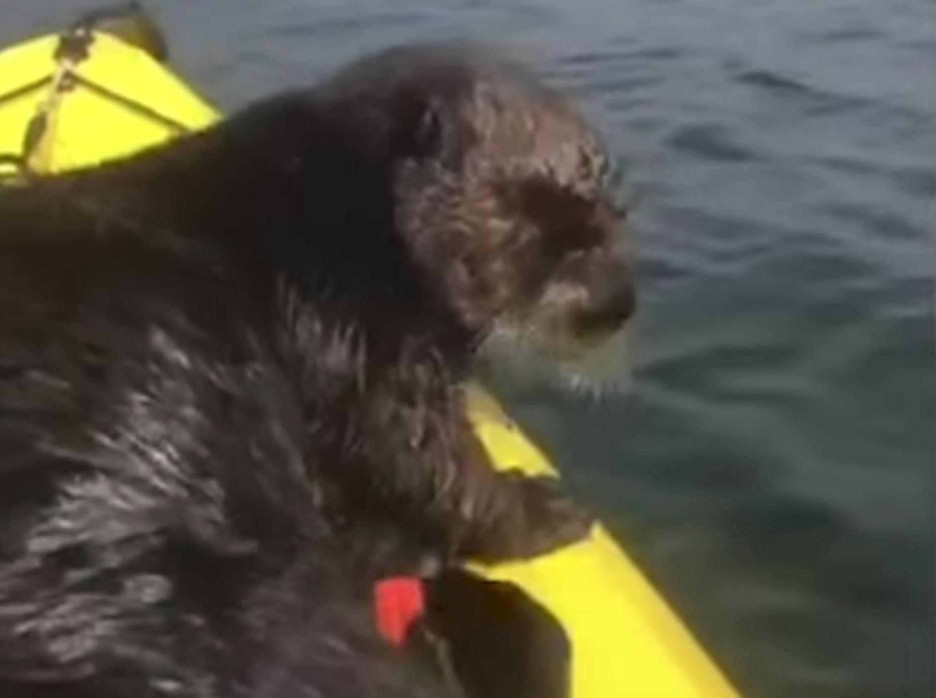 Putzig! Dieser Otter hat richtig Spaß bei einer Kanufahrt - Bild: YouTube / Unilad