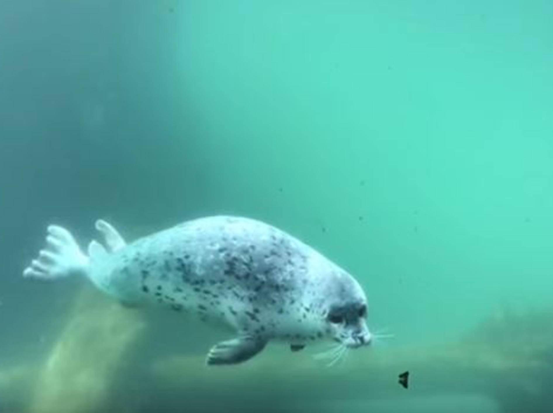 Seehund Kaya jagt einen Schmetterling vor ihrem Aquarium - Bild: YouTube / Oregon Zoo