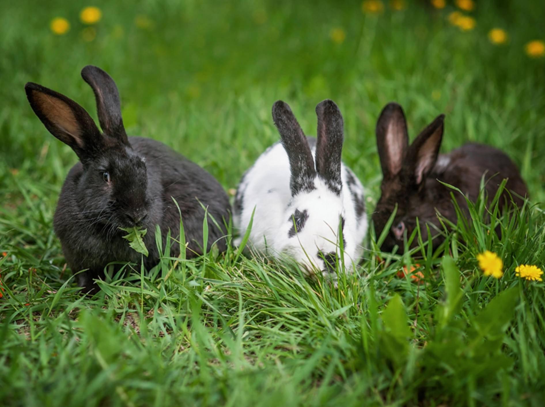 Diese Kaninchenfreunde haben die Rangordnung untereinander bereits geklärt und verstehen sich bestens – Shutterstock / Serenko Natalia