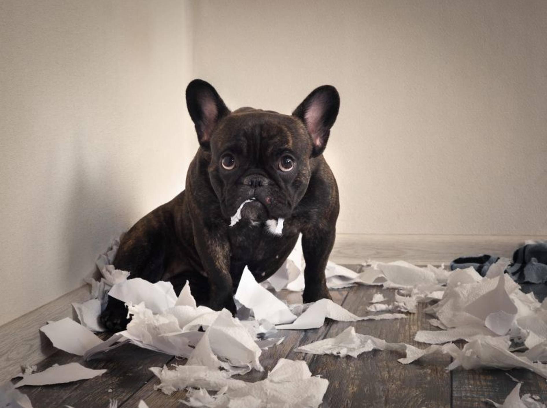 """""""Es ist nicht das, wonach es aussieht!"""", scheint diese Französische Bulldogge sagen zu wollen – Shutterstock / Irina Kozorog"""