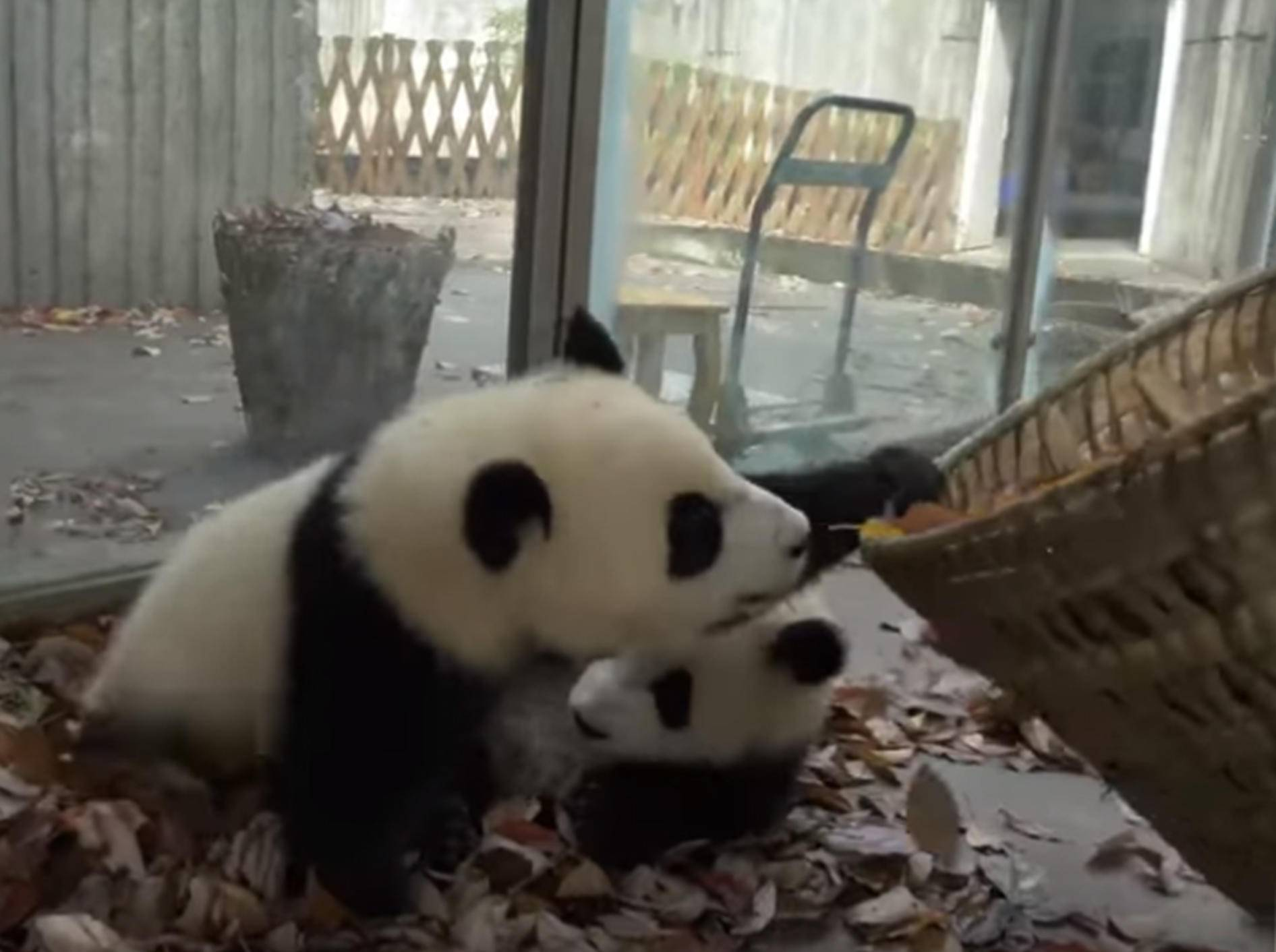 Diese Pandas haben Spaß im Laub - Bild: YouTube / 游浮生